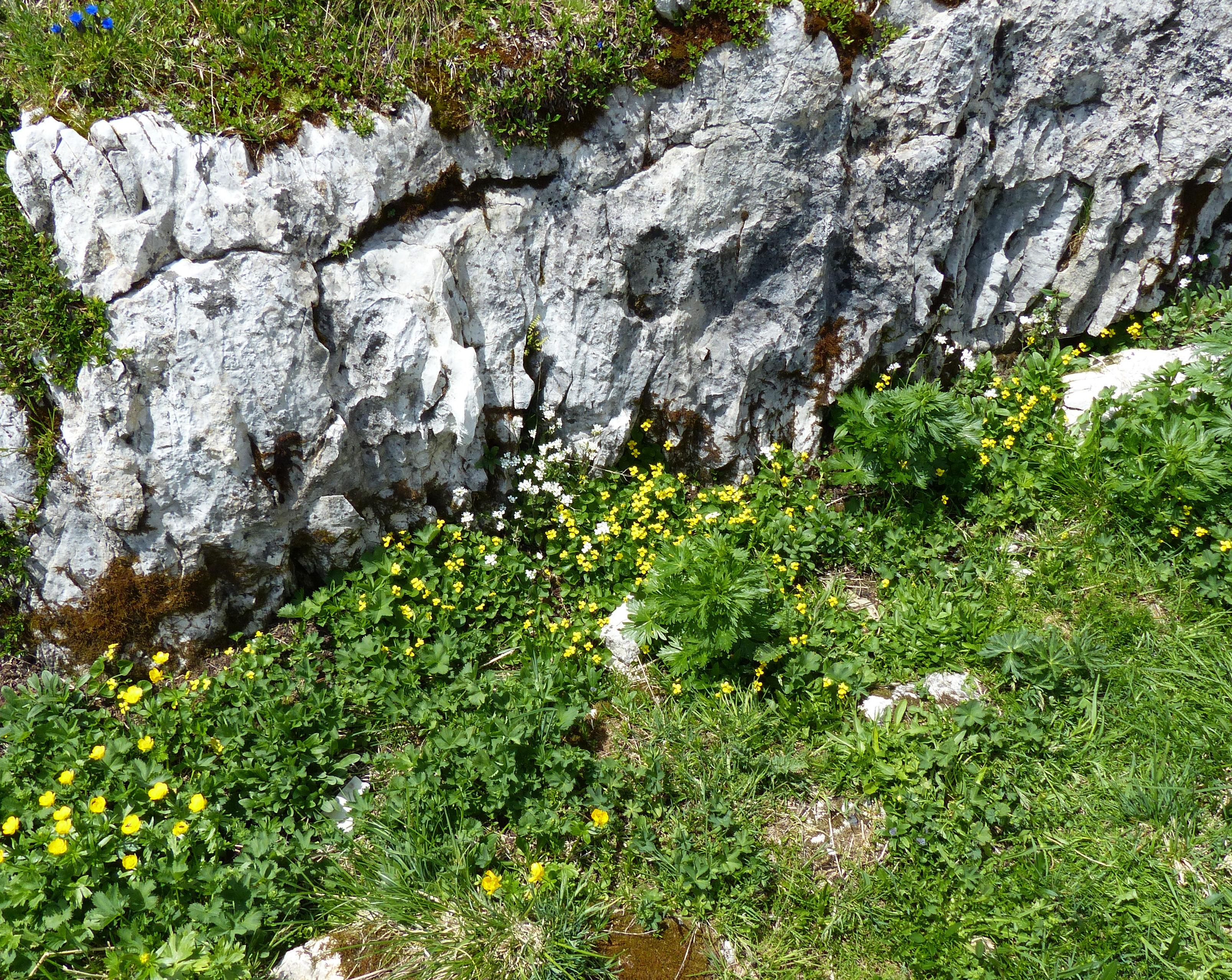 © Dipartimento di Scienze della Vita, Università di Trieste<br>by Andrea Moro<br>Rifugio Auronzo, lungo il sentiero che conduce alle Tre Cime di Lavaredo, BL, Veneto, Italia, 05/07/2015<br>Distributed under CC-BY-SA 4.0 license.