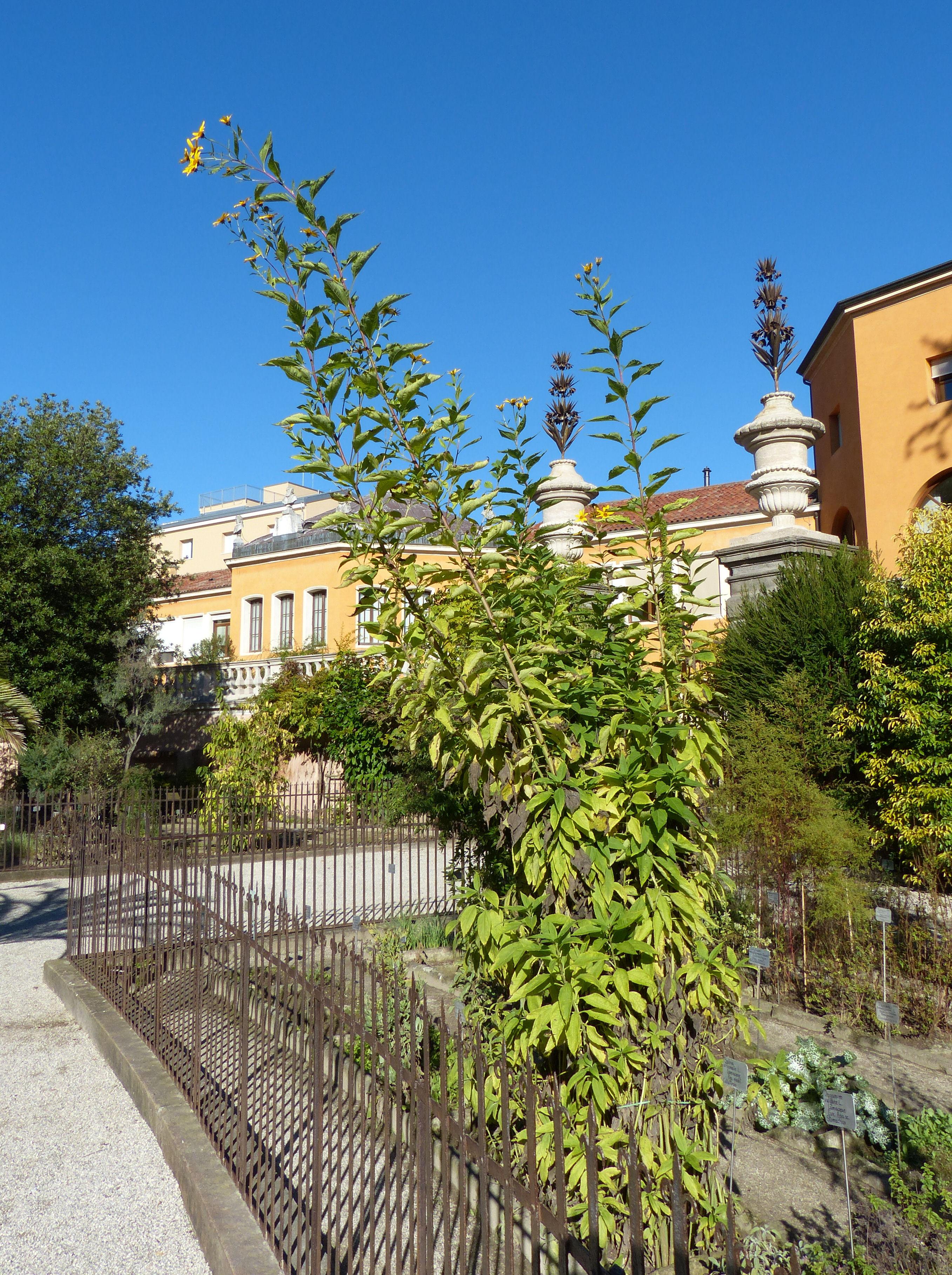© Dipartimento di Scienze della Vita, Università di Trieste<br>by Andrea Moro<br>Comune di Padova, Orto Botanico, PD, Veneto, Italia, 20/10/2015<br>Distributed under CC-BY-SA 4.0 license.