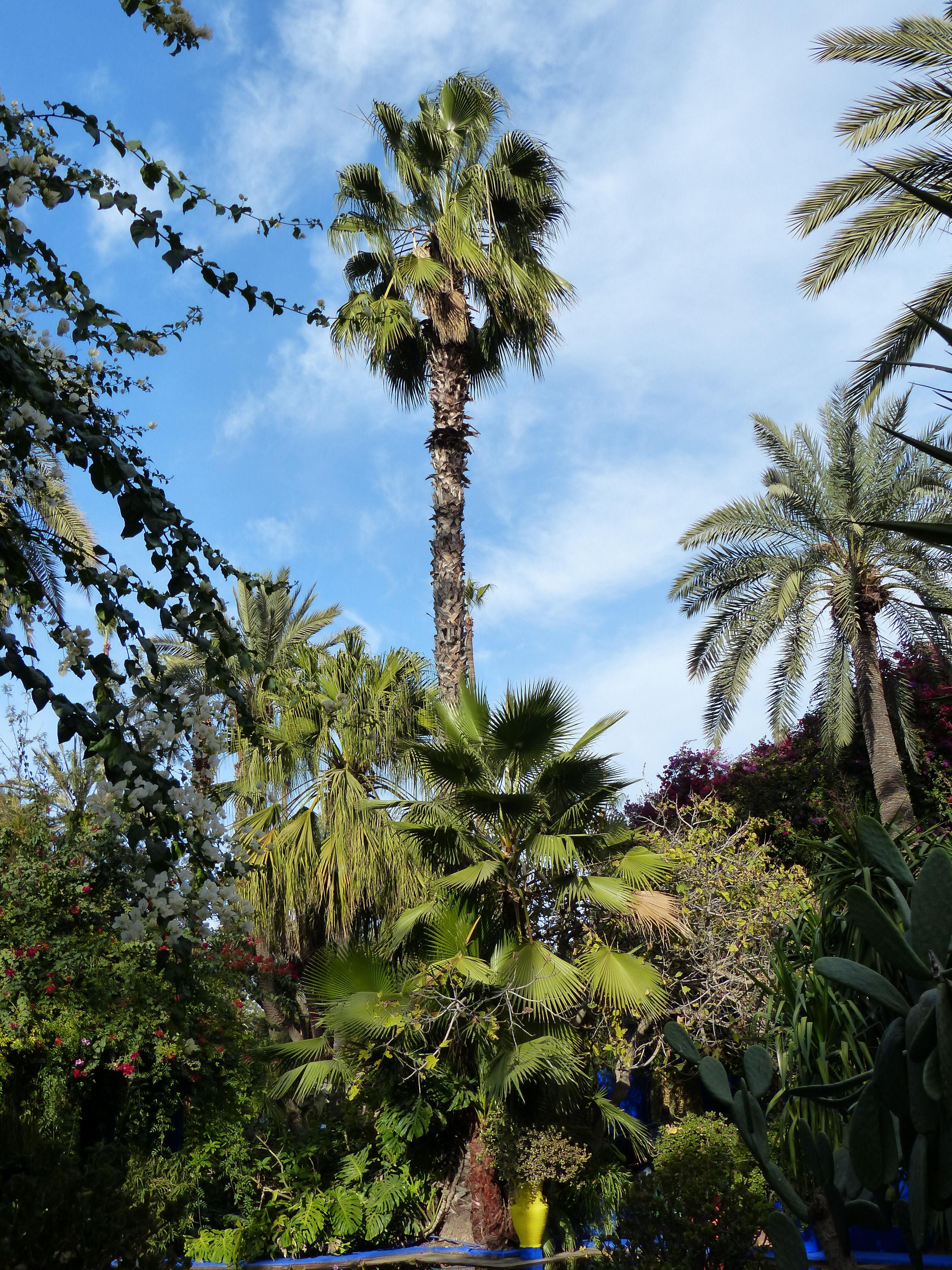 © Dipartimento di Scienze della Vita, Università di Trieste<br>by Andrea Moro<br>Marrakech, Jardin Majorelle, Marrakech, Marrakech-Tensift-El Haouz, Marocco, 29/12/2015<br>Distributed under CC-BY-SA 4.0 license.
