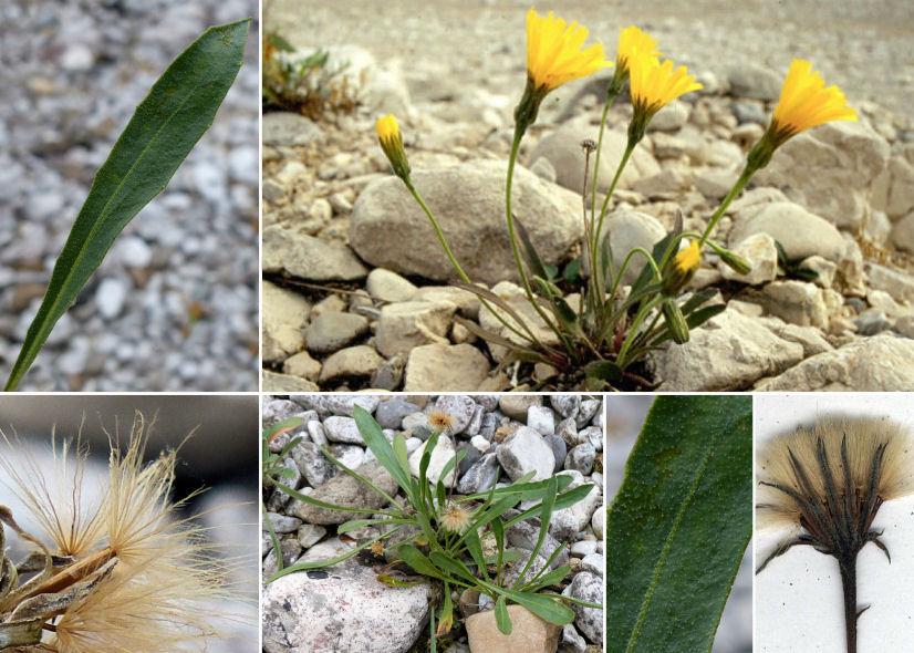 © Dipartimento di Scienze della Vita, Università di Trieste<br>by © Adriano Bruna - Forum Acta Plantarum, Andrea Moro, © Hortus Botanicus Catinensis - Herb.sheet 001117<br><br>Distributed under CC BY-SA 4.0 license.
