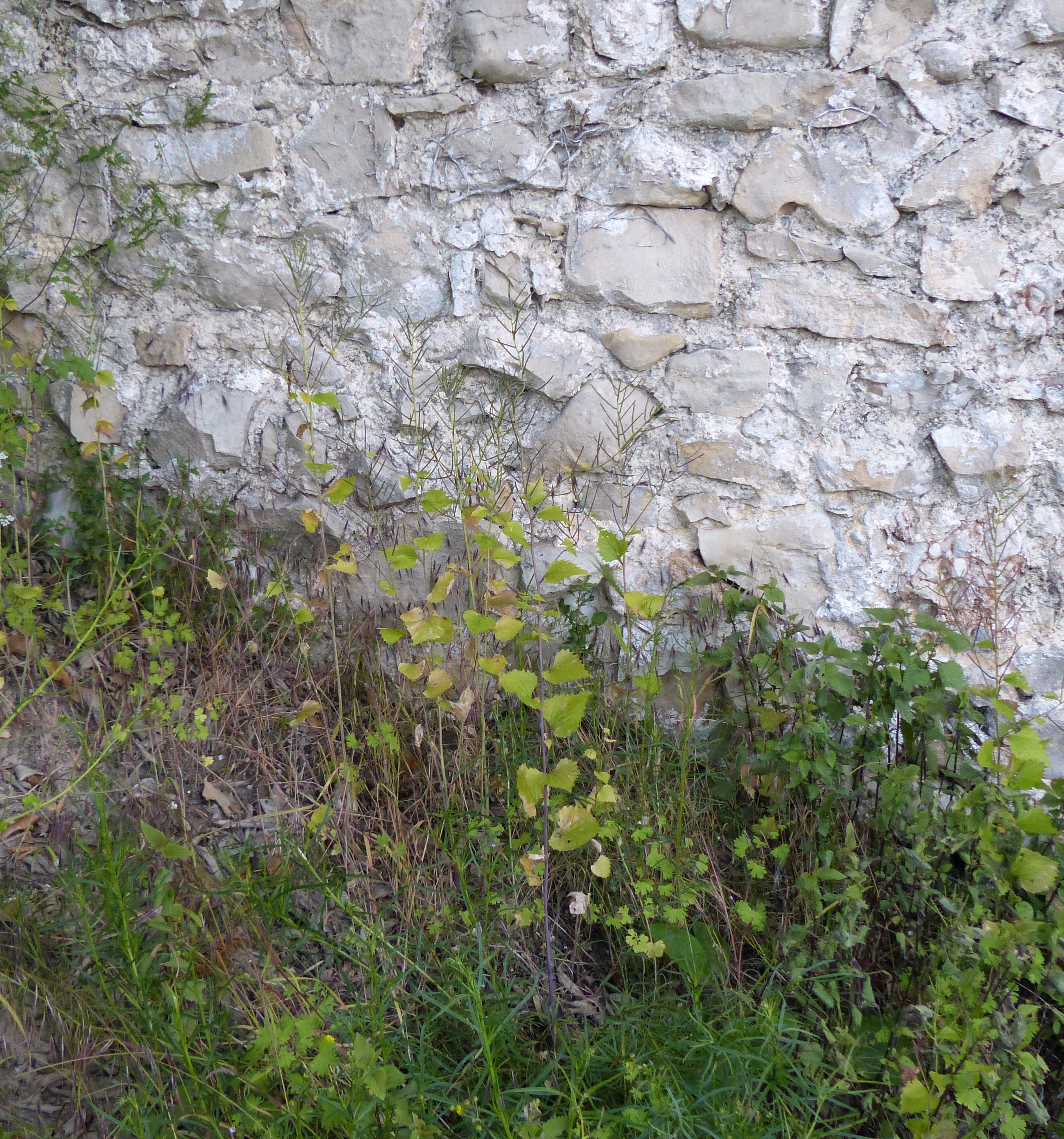 &copy; Dipartimento di Scienze della Vita, Università di Trieste<br>by Andrea Moro<br>Comune di Asolo, nei pressi della salita per la Rocca, TV, Veneto, Italia, 22/05/2016<br>Distributed under CC-BY-SA 4.0 license.