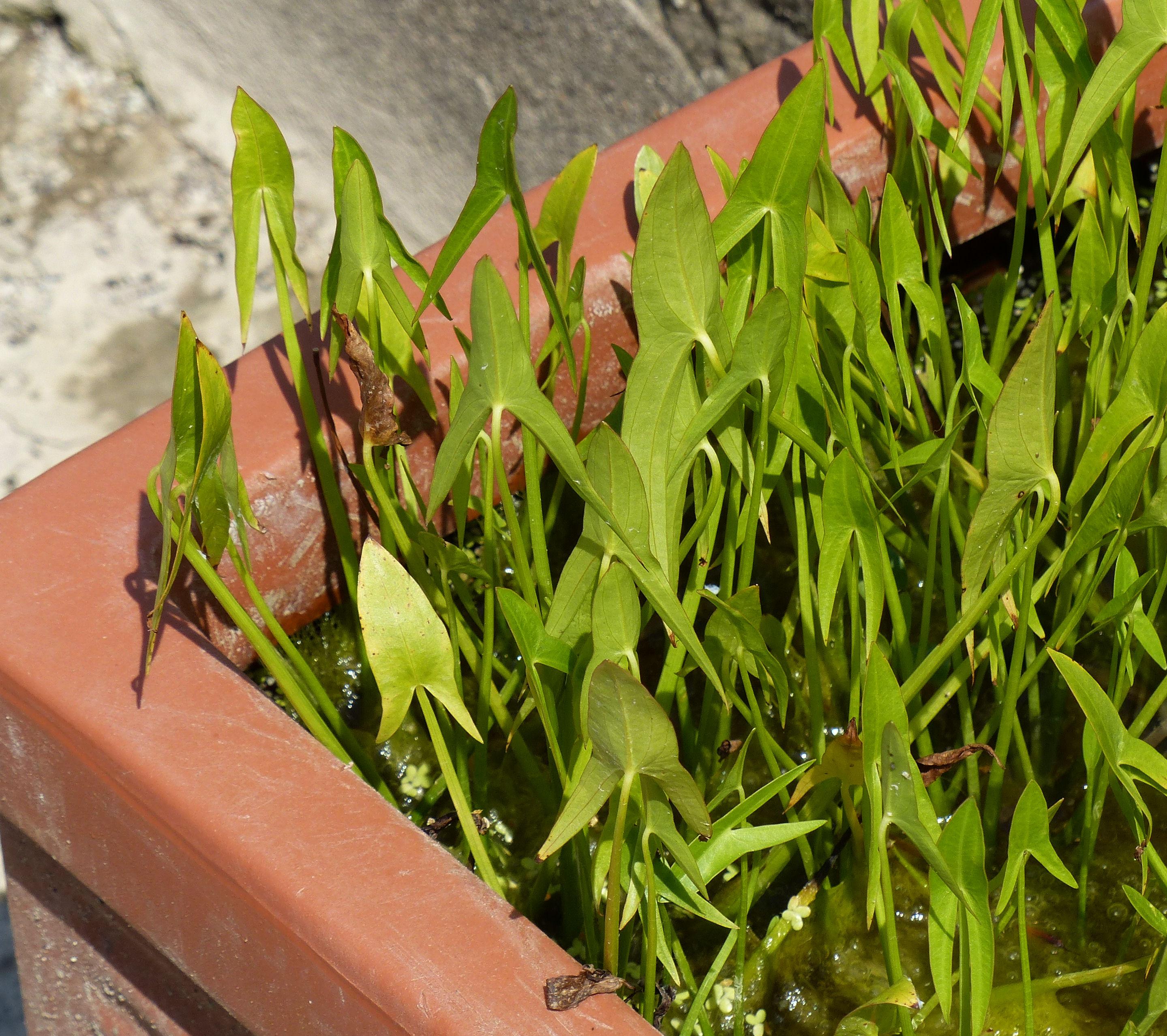 © Dipartimento di Scienze della Vita, Università di Trieste<br>by Andrea Moro<br>Comune di Padova, Orto Botanico, PD, Veneto, Italia, 25/06/2016<br>Distributed under CC-BY-SA 4.0 license.