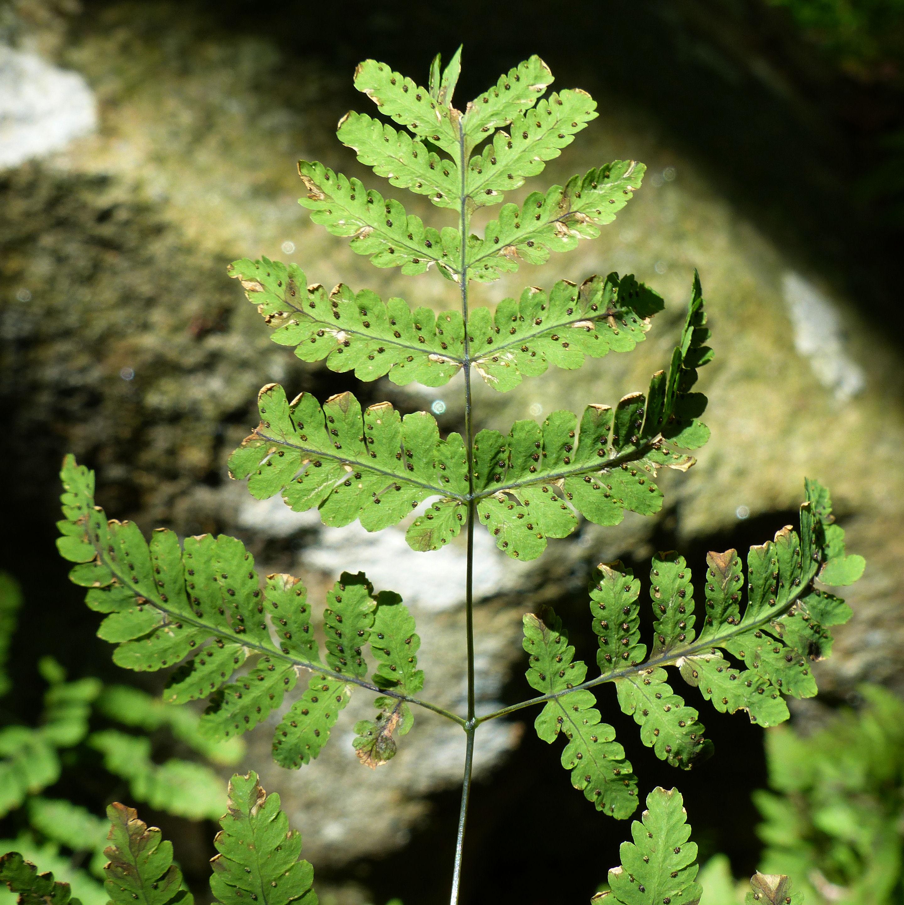 © Dipartimento di Scienze della Vita, Università di Trieste<br>by Andrea Moro<br>Comune di Biella, Giardino Botanico di Oropa, BI, Piemonte, Italia, 18/07/2016<br>Distributed under CC-BY-SA 4.0 license.