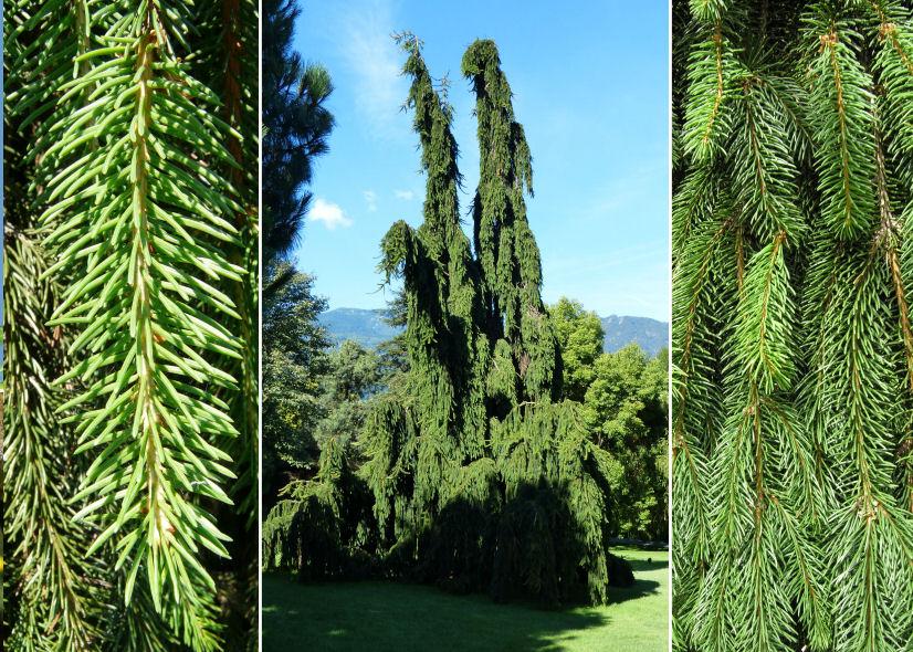 Keytonature Dryades Picea Abies L Hkarst Inversa Pendula