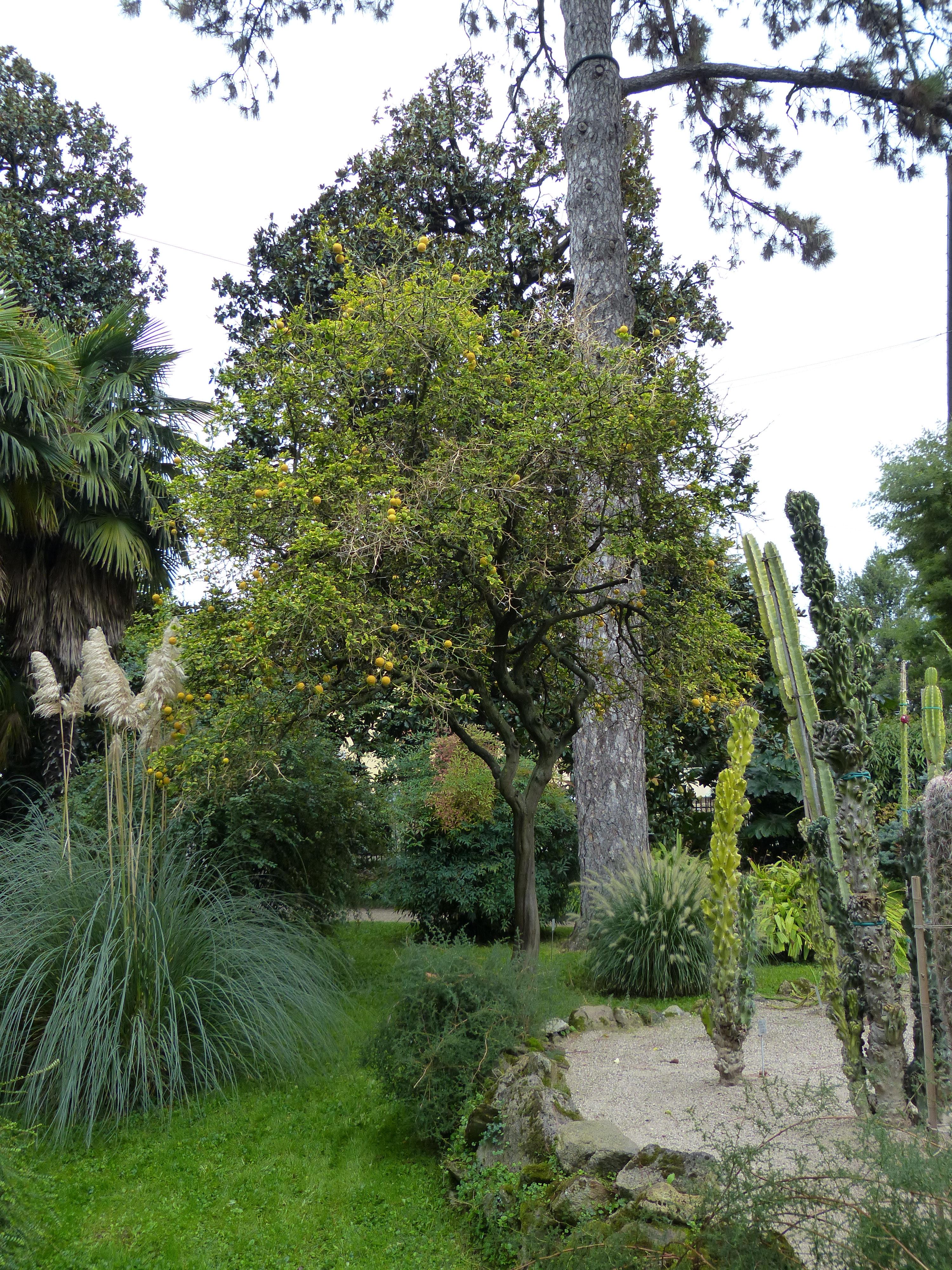 © Dipartimento di Scienze della Vita, Università di Trieste<br>by Andrea Moro<br>Comune di Padova, Orto Botanico, PD, Veneto, Italia, 05/10/2016<br>Distributed under CC-BY-SA 4.0 license.