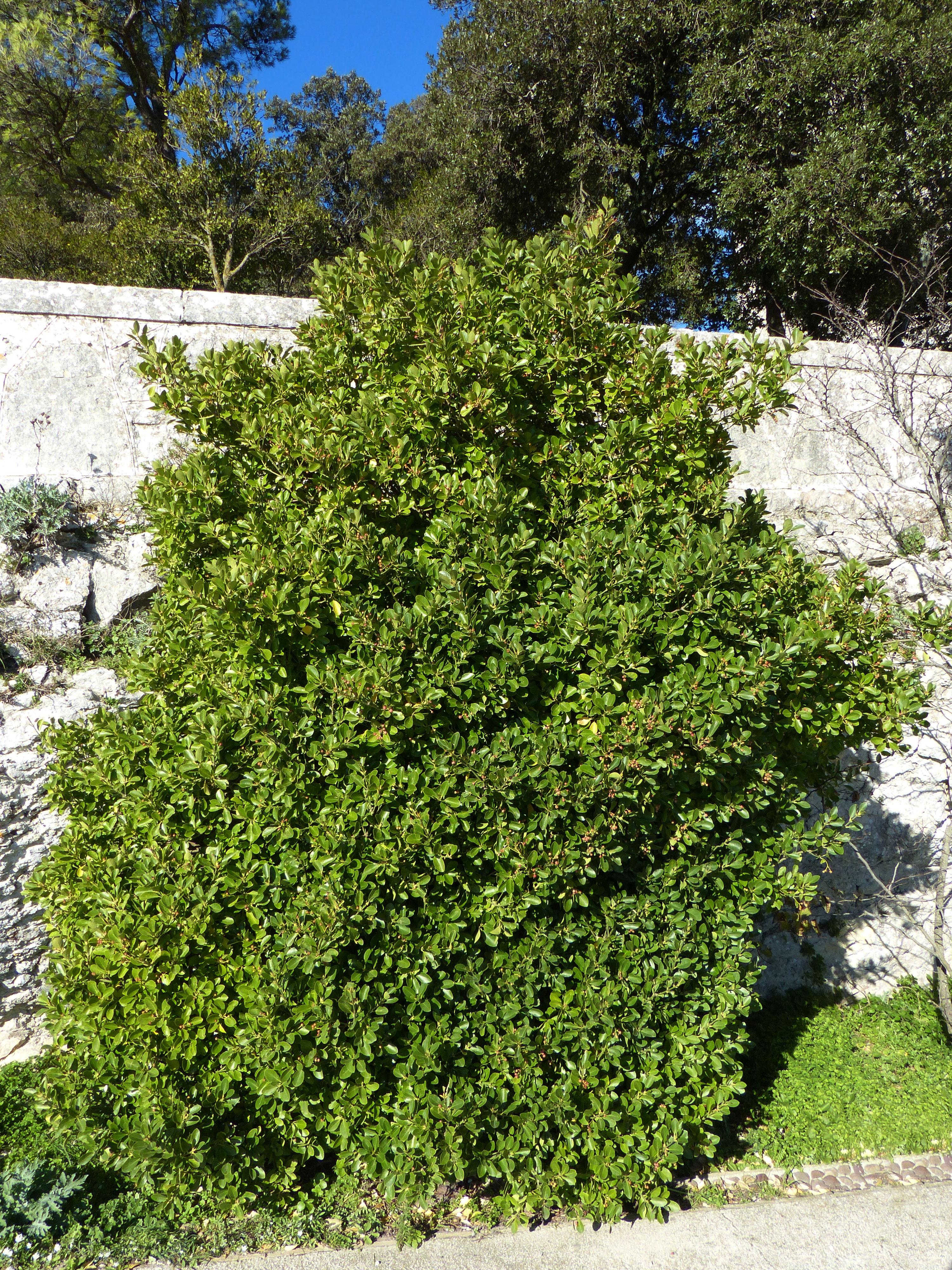 © Dipartimento di Scienze della Vita, Università di Trieste<br>by Andrea Moro<br>Città di Erice, centro storico, Castello di Venere, TP, Sicilia, Italia, 04/12/2016<br>Distributed under CC-BY-SA 4.0 license.