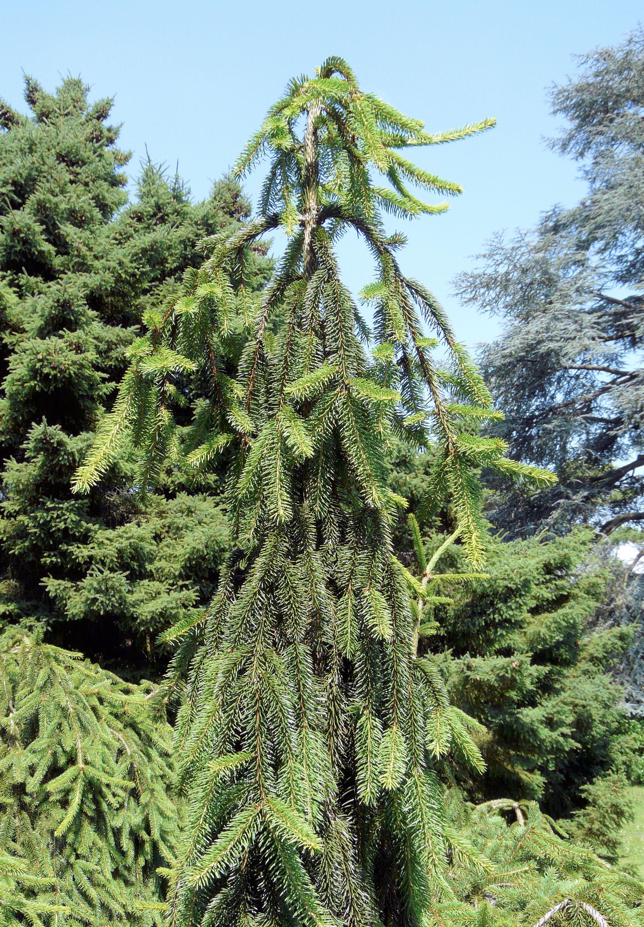 Picea Abies L Hkarst Inversa Pendula