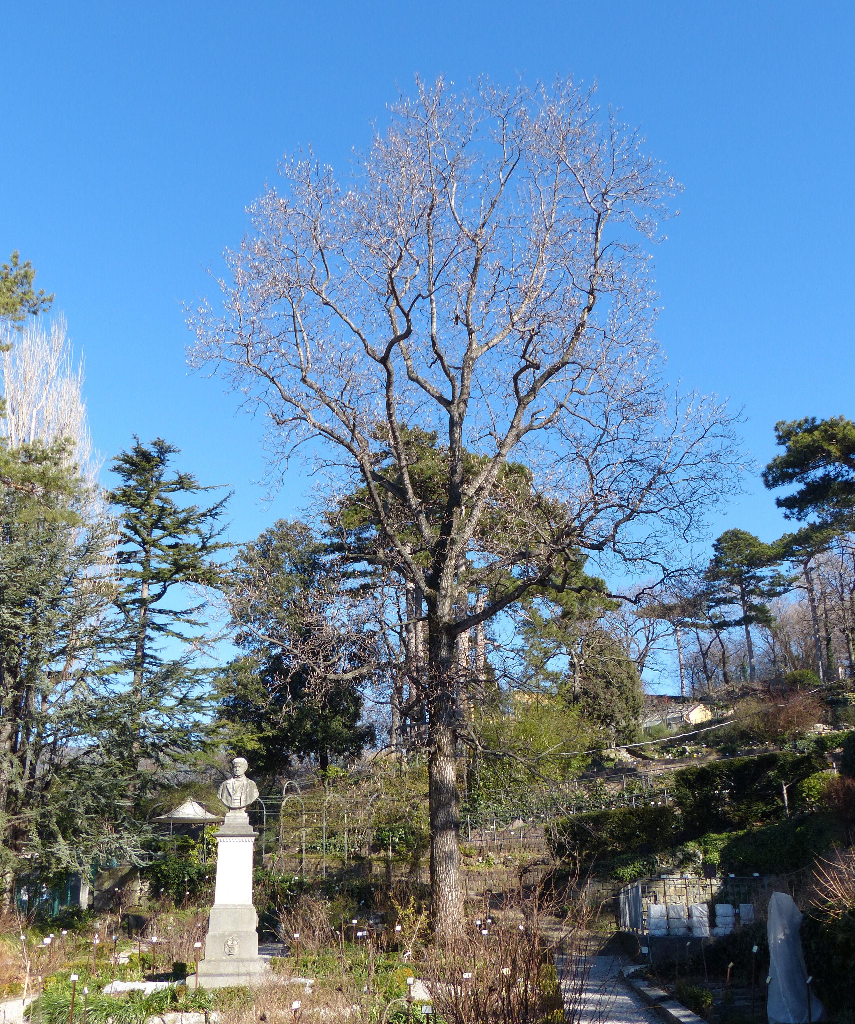 © Dipartimento di Scienze della Vita, Università di Trieste<br>by Andrea Moro<br>Comune di Trieste, Civico Orto Botanico, TS, Friuli Venezia Giulia, Italia, 15/02/2017<br>Distributed under CC-BY-SA 4.0 license.