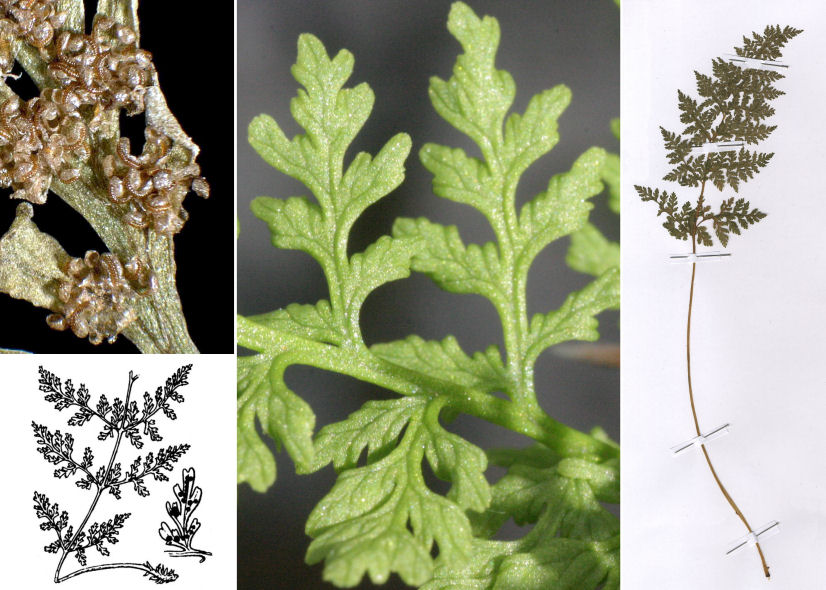 by © HermannSchachner, © Hortus Botanicus Catinensis - Herb. sheet 003219, © Hippolyte Coste, Andrea Moro<br><br>Distributed under CC-BY-SA license.
