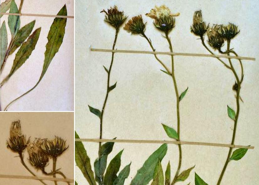 by © Neuchâtel Herbarium CC BY-SA NC<br>