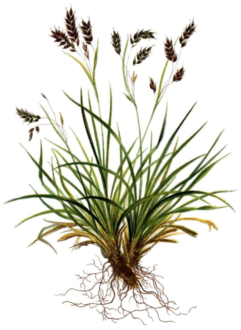 © Hartinger A., Dalla Torre K. W. von - Deutscher Alpenverein (Founded 1874) - Atlas der Alpenflora Vol. 4 @ Biodiversity Heritage Library .- Wikimedia Commons – Public Domain<br>