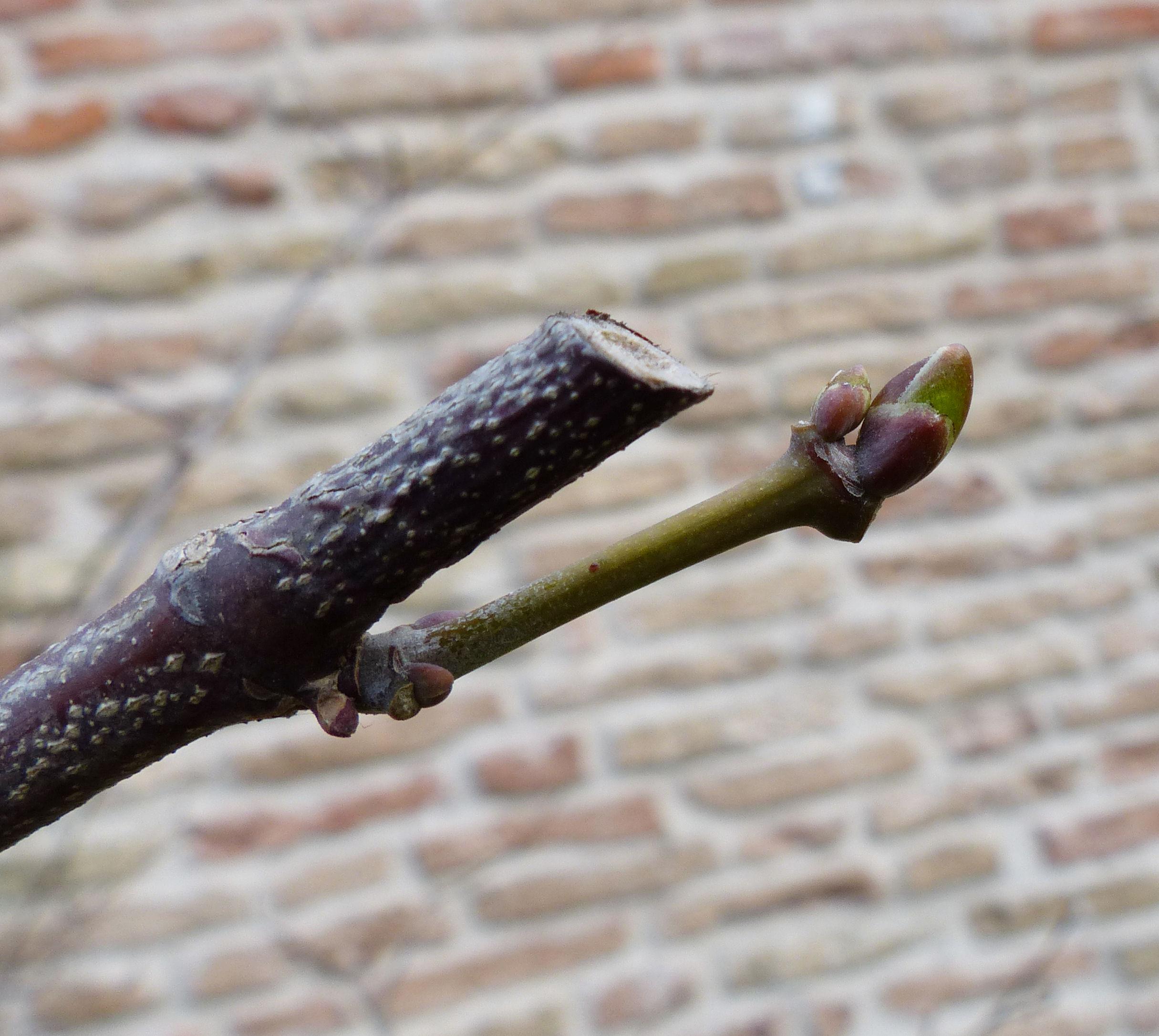 © Dipartimento di Scienze della Vita, Università di Trieste<br>by Andrea Moro<br>Comune di Padova, Orto Botanico, PD, Veneto, Italia, 27/02/2017<br>Distributed under CC-BY-SA 4.0 license.