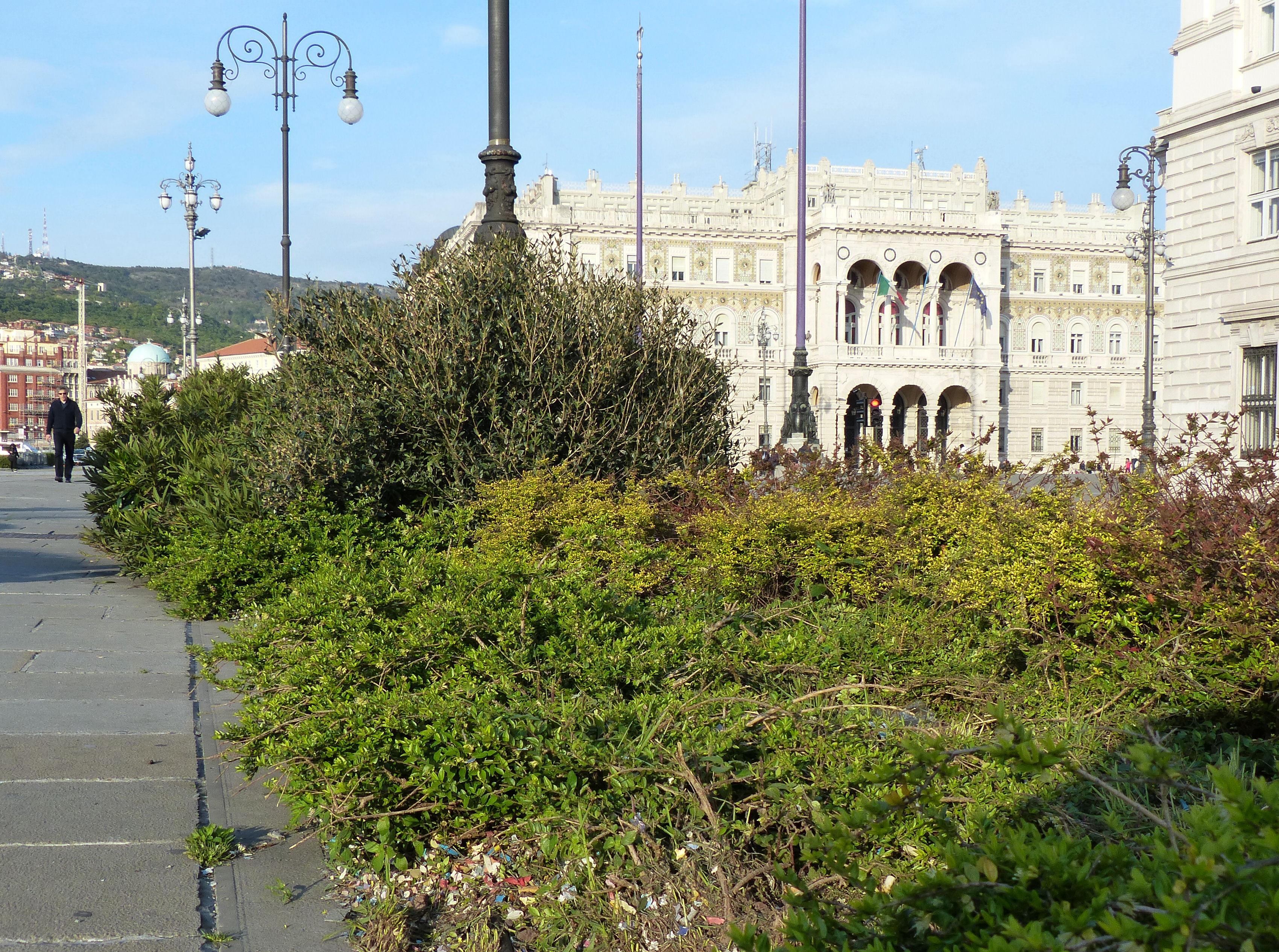 © Dipartimento di Scienze della Vita, Università di Trieste<br>by Andrea Moro<br>Comune di Trieste, aiuole sulle Rive, TS, Friuli Venezia Giulia, Italia, 07/04/2017<br>Distributed under CC-BY-SA 4.0 license.