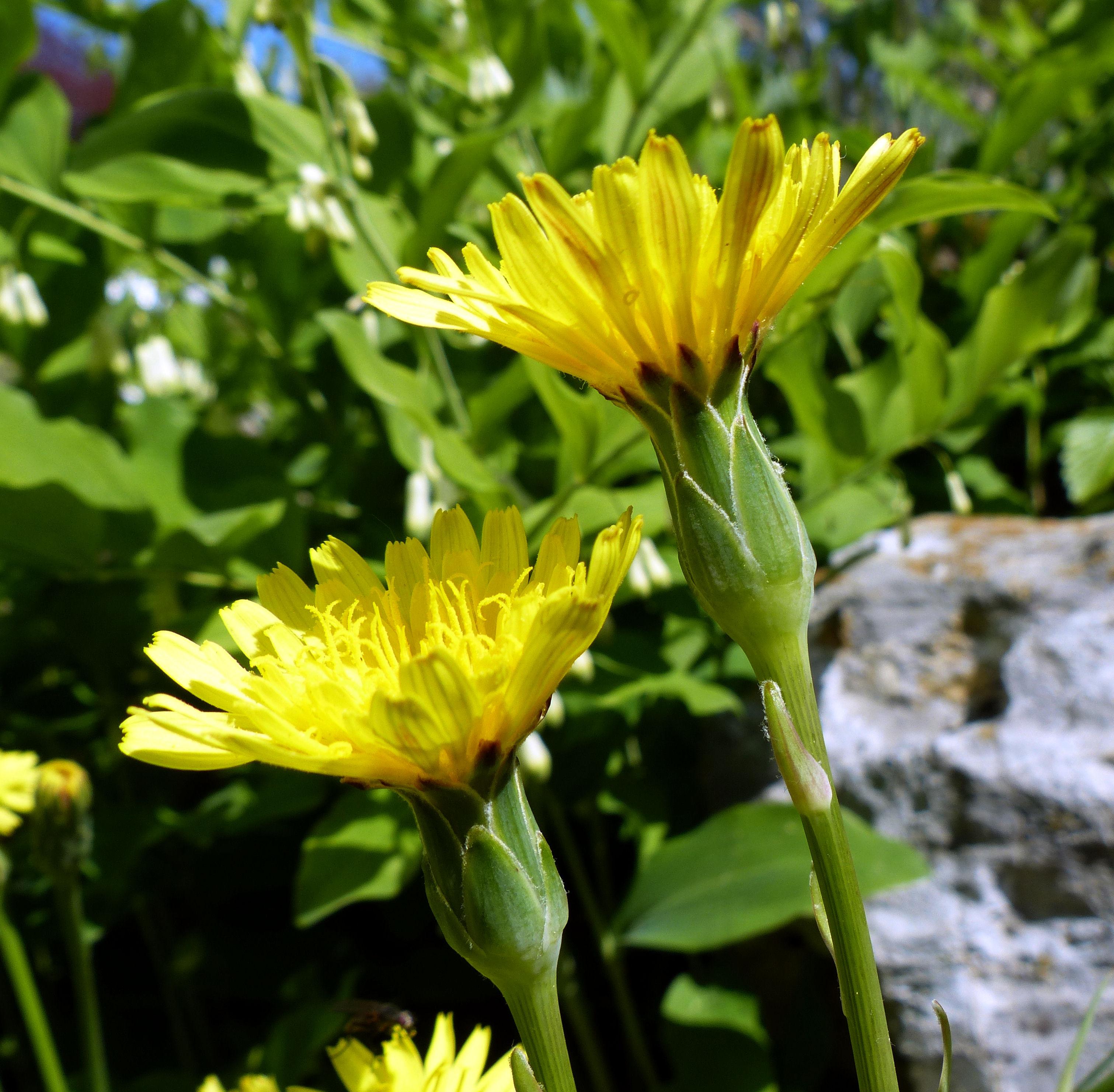 © Dipartimento di Scienze della Vita, Università di Trieste<br>by Andrea Moro<br>Comune di Graz, Botanischer Garten - Karl-Franzens-Universität Graz, Steiermark, Austria, 21/04/2017<br>Distributed under CC-BY-SA 4.0 license.