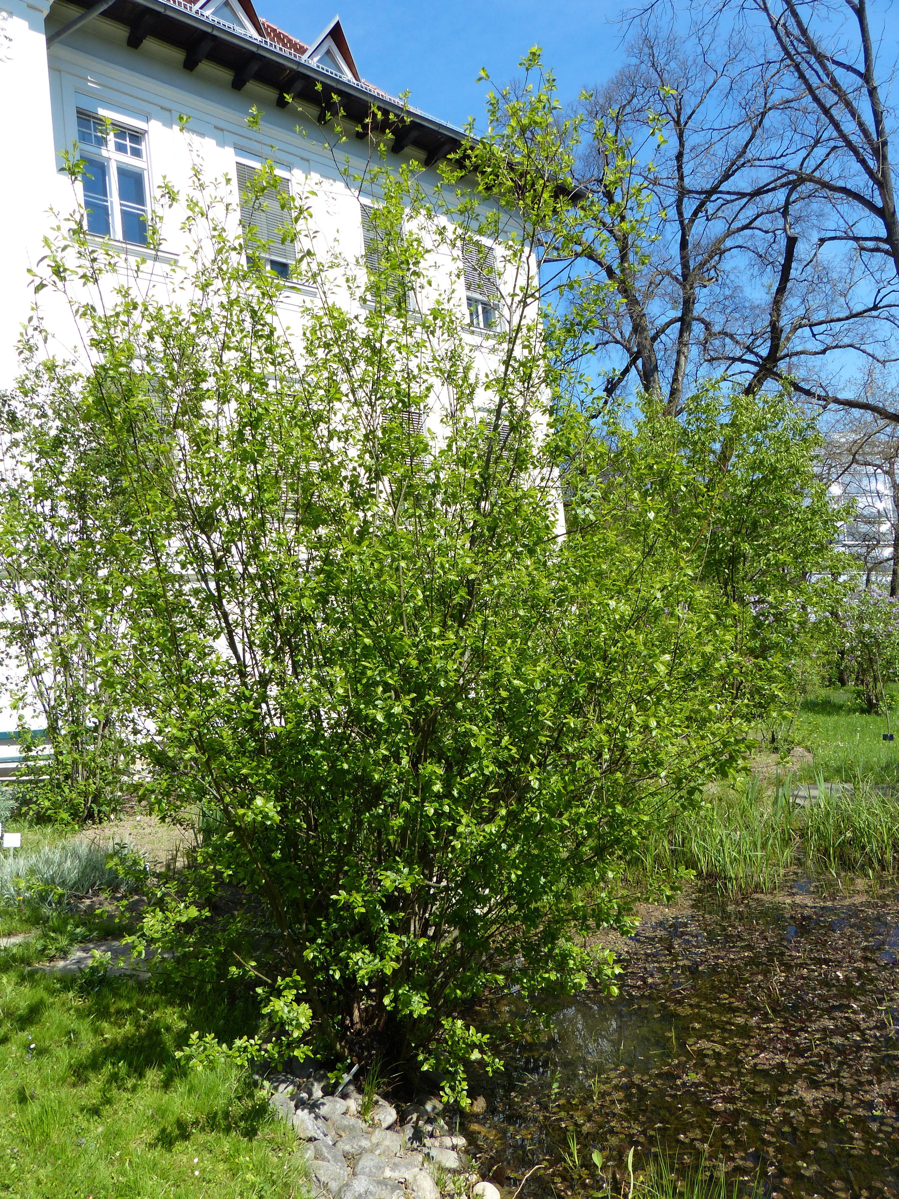 © Dipartimento di Scienze della Vita, Università di Trieste<br>by Andrea Moro<br>Comune di Graz, Botanischer Garten - Karl-Franzens-Universität Graz, Steiermark, Austria, 23/04/2017<br>Distributed under CC-BY-SA 4.0 license.