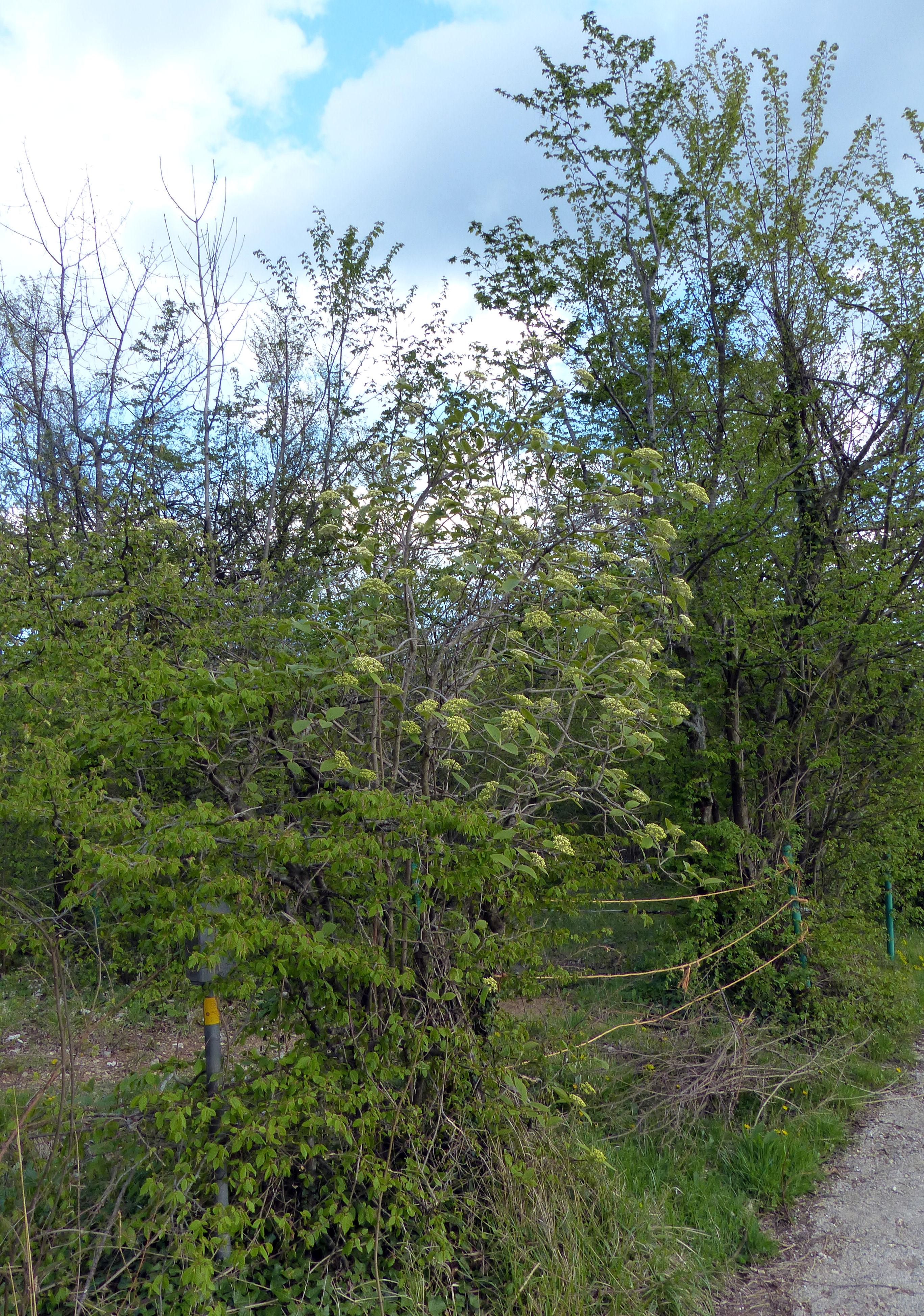 © Dipartimento di Scienze della Vita, Università di Trieste<br>by Andrea Moro<br>Comune di Serle, Altopiano di Cariadeghe, BS, Lombardia, Italia, 20/04/2017<br>Distributed under CC-BY-SA 4.0 license.