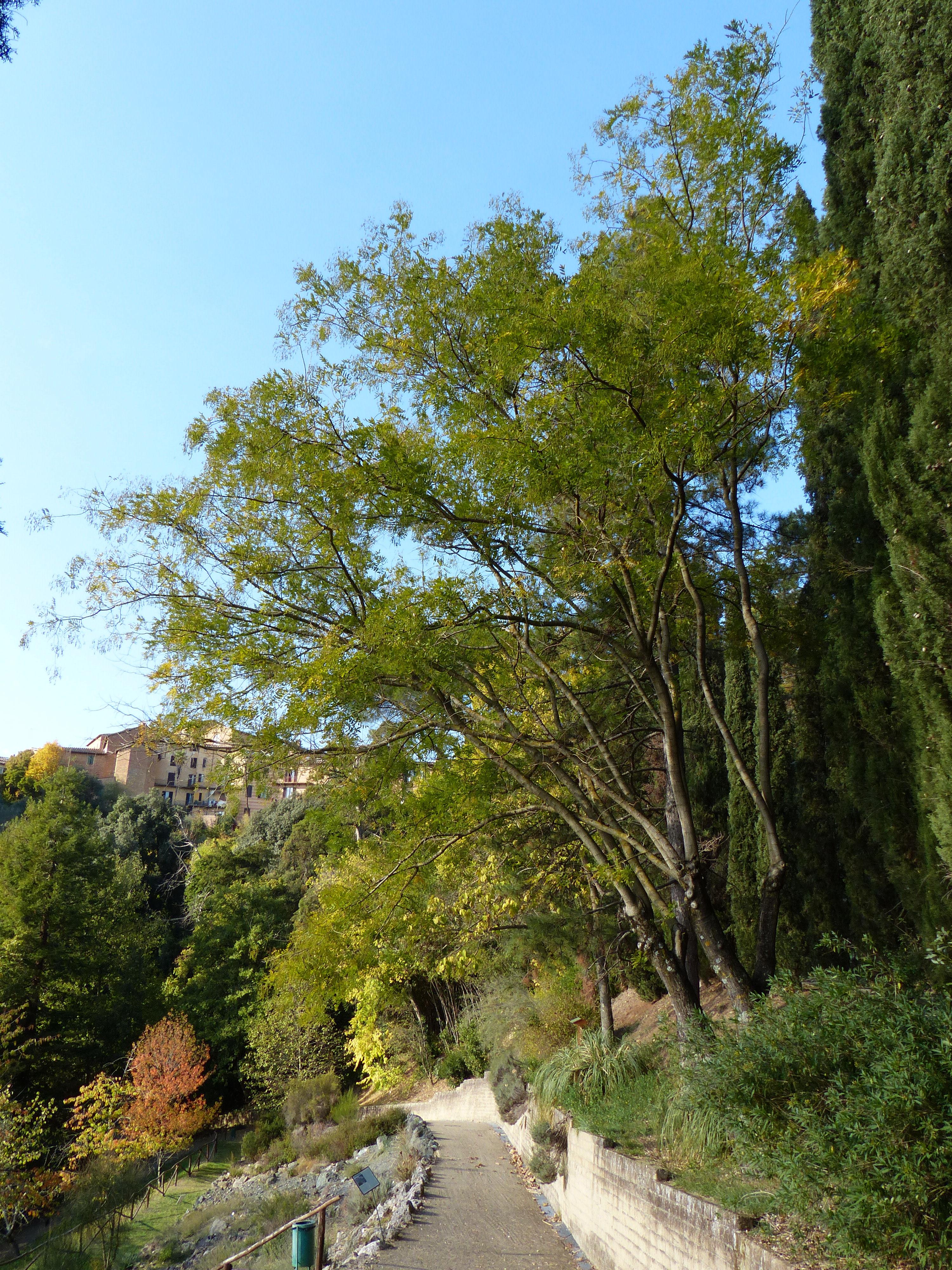 © Dipartimento di Scienze della Vita, Università di Trieste<br>by Andrea Moro<br>Siena, Orto botanico dell'Università di Siena, SI, Toscana, Italia, 31/10/2012<br>Distributed under CC-BY-SA 4.0 license.