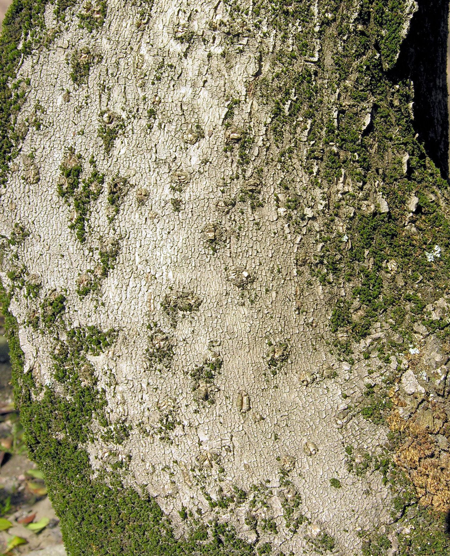 © Dipartimento di Scienze della Vita, Università di Trieste<br>by Andrea Moro<br>Comune di Merano / Meran, Giardini di Castel Trauttmansdorff, BZ, Trentino-Alto Adige / Südtirol, Italia, 05/10/2017<br>Distributed under CC-BY-SA 4.0 license.
