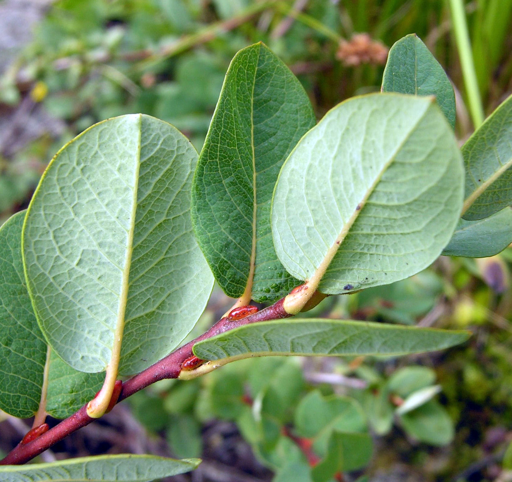 Salix myrtilloides