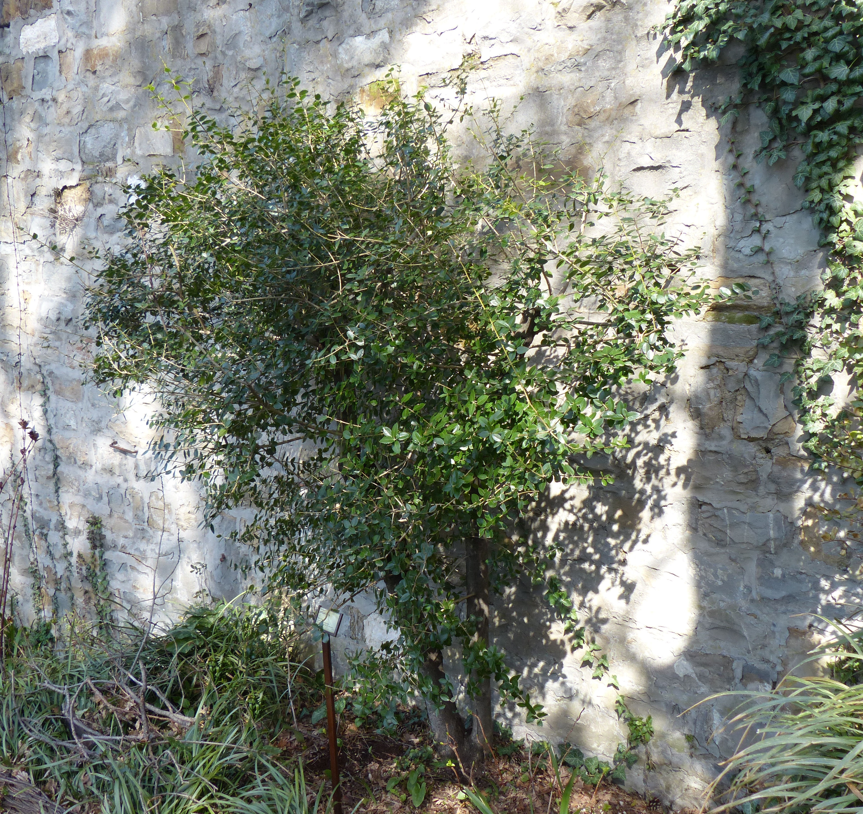 © Dipartimento di Scienze della Vita, Università di Trieste<br>by Andrea Moro<br>Comune di Trieste, Civico Orto Botanico, TS, Friuli Venezia Giulia, Italia, 21/03/2018<br>Distributed under CC-BY-SA 4.0 license.