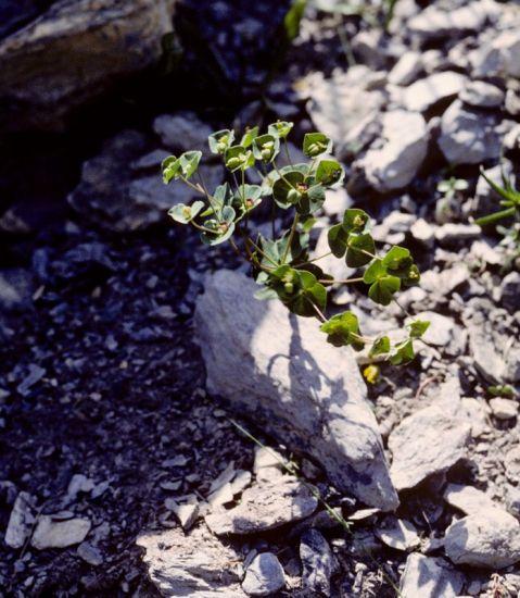 © Franco Fenaroli – Forum Acta Plantarum<br>