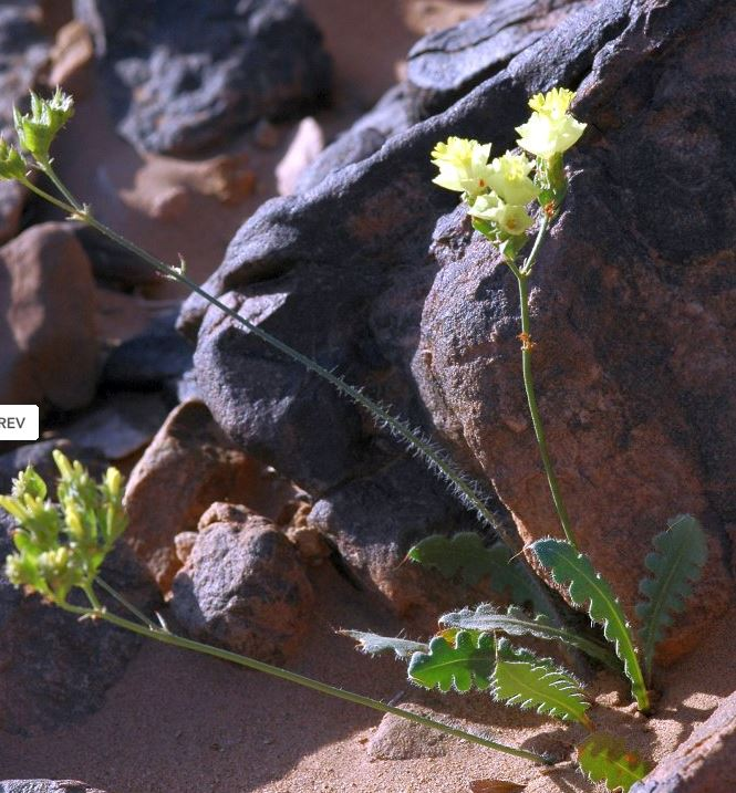© A.Wittke – Source: http://plantsofsouthernmorocco.biota-africa.net/plantdata_sub.php?Mspec_ID=111<br>