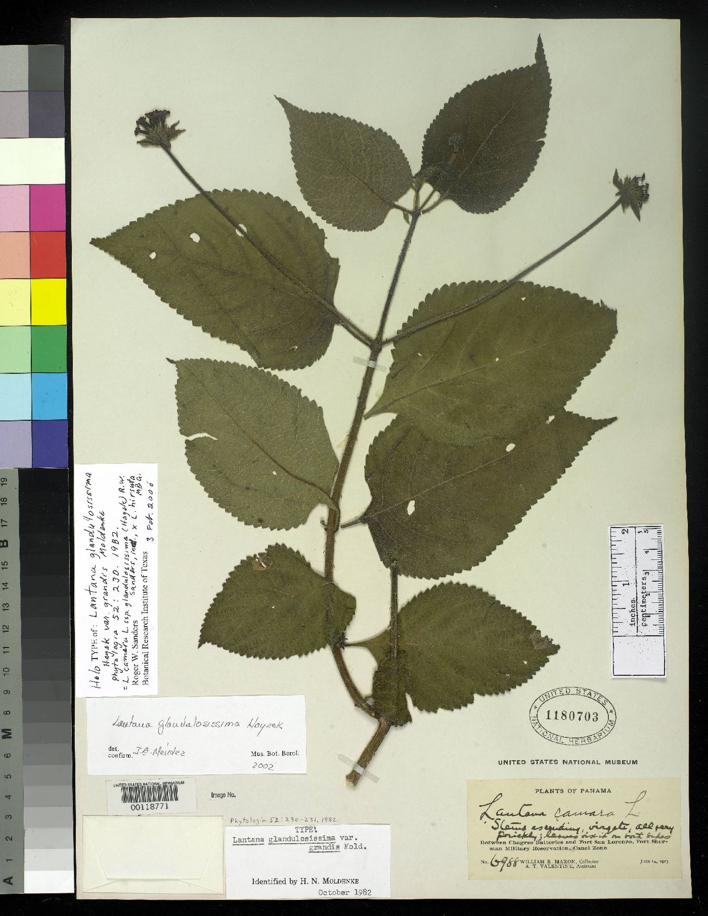 © United States National Herbarium – holotype of var. grandis – CC BY-SA NC 3.0<br>