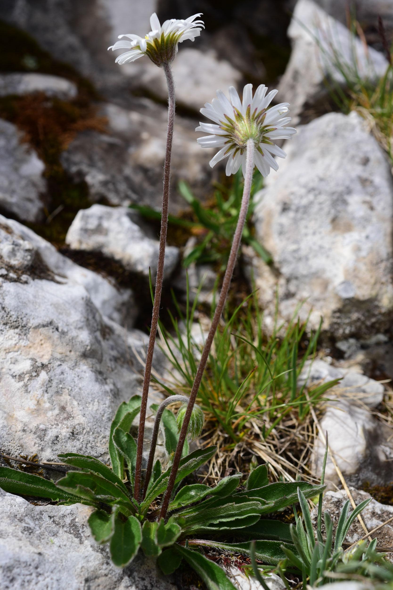 © Fabio Conti - Centro Ricerche Floristiche Dell'Appennino, Barisciano AQ<br>by Fabio Conti<br>M. Sirente, Abruzzo, Italia,