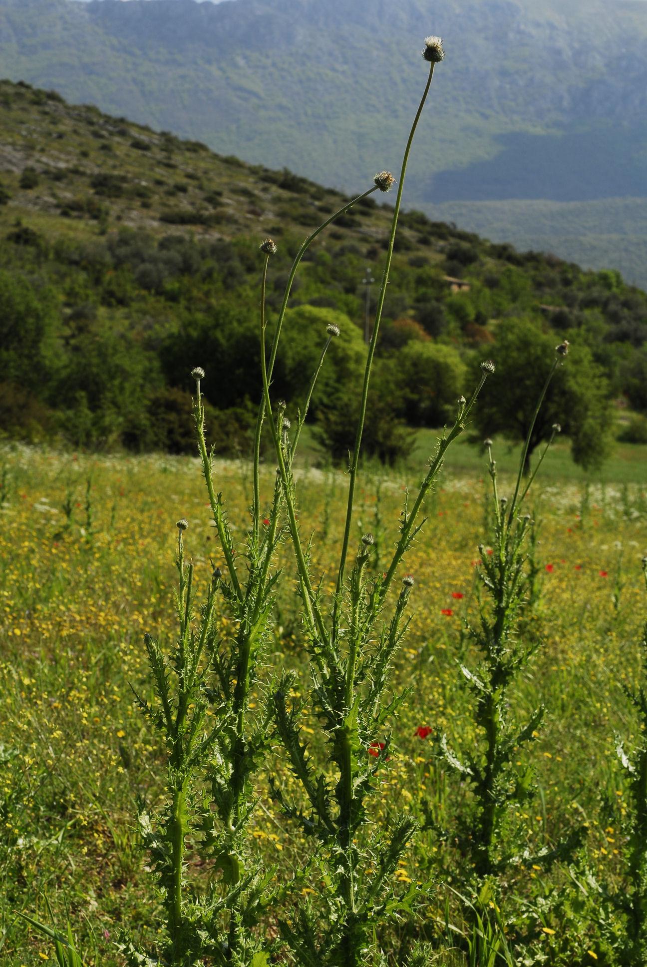 © Fabio Conti - Centro Ricerche Floristiche Dell'Appennino, Barisciano AQ<br>by Fabio Conti<br>Abruzzo, Italia,