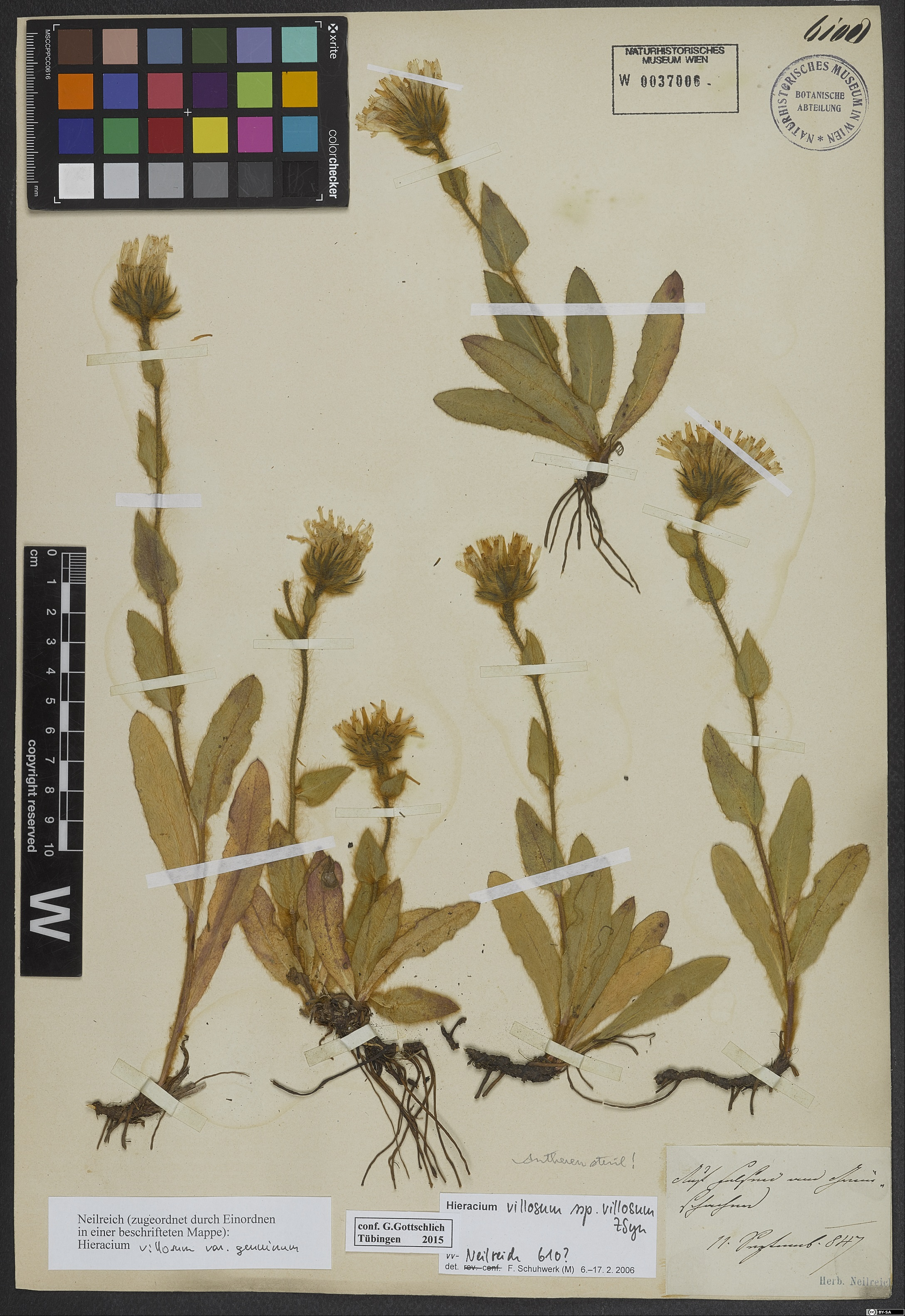 Herbarium: W-Neilreich 0037006  - Source: http://herbarium.univie.ac.at/database/detail.php?ID=1092195<br>by