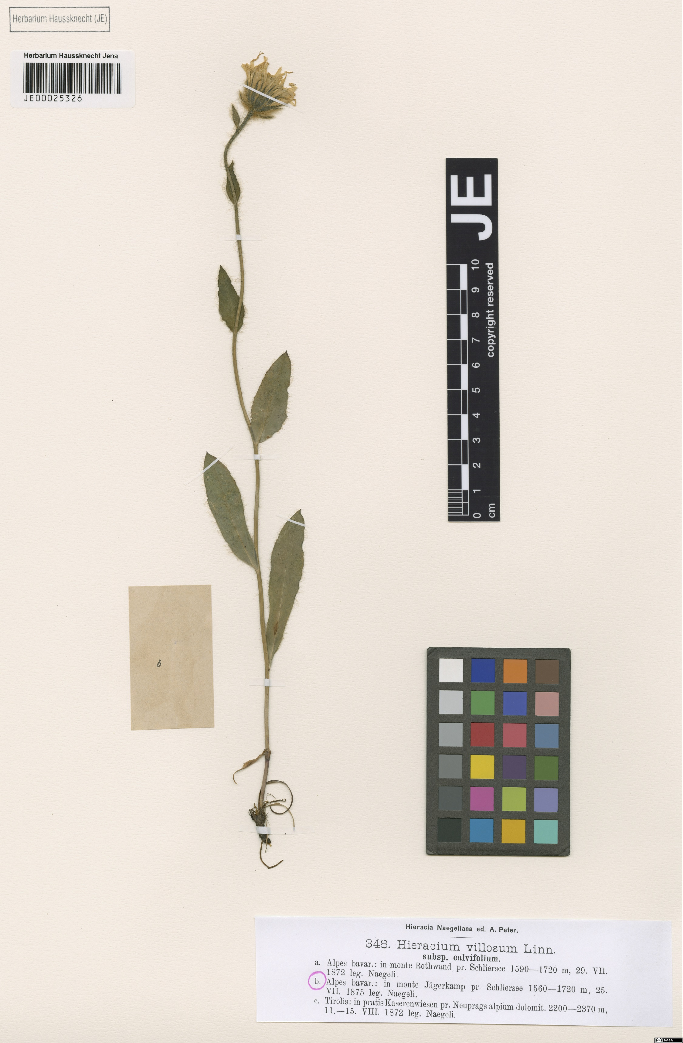 Herbarium: JE 00025326 syntypus  - Source: http://herbarium.univie.ac.at/database/detail.php?ID=1039669<br>by