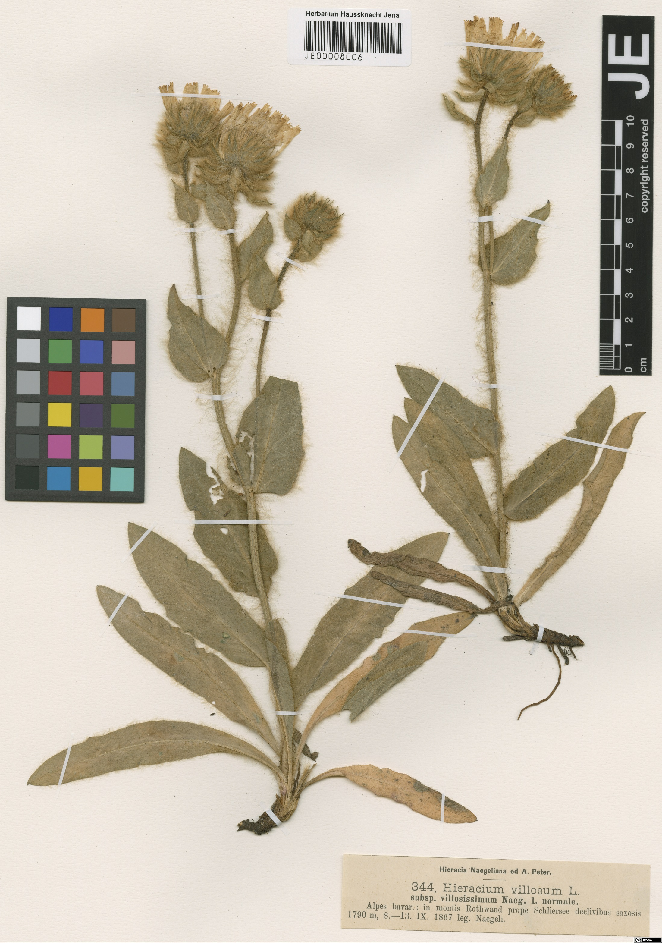 Herbarium: JE 00008006 - Source: http://herbarium.univie.ac.at/database/detail.php?ID=157934<br>by