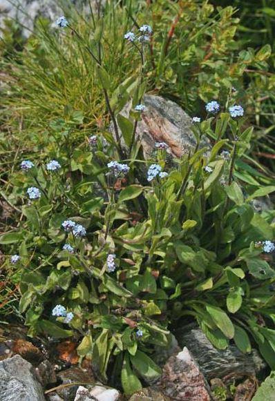 © Giuliano Campus (Forum Acta Plantarum) - http://www.sardegnaflora.it/<br>Sardegna, Italia,