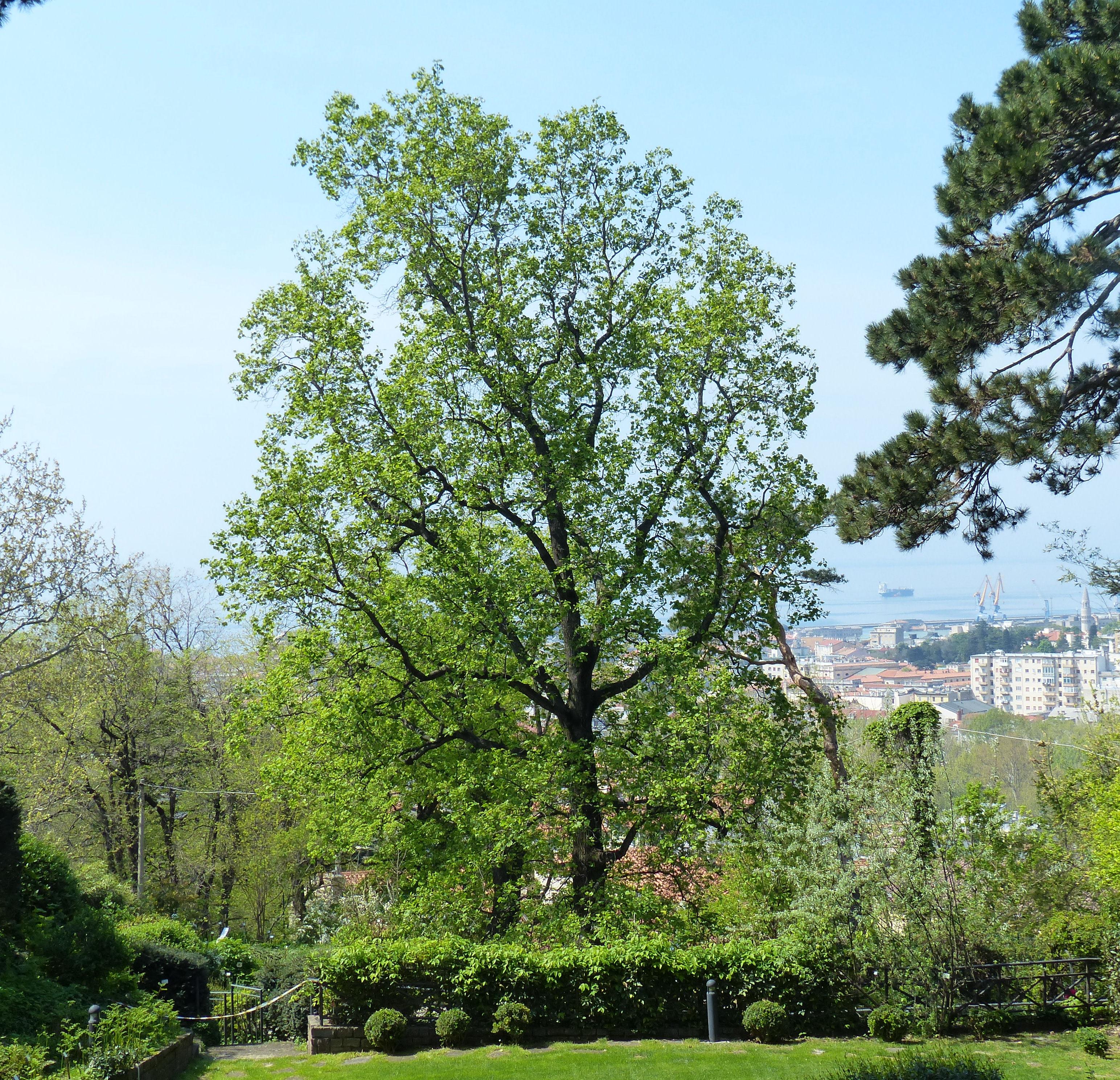 © Dipartimento di Scienze della Vita, Università di Trieste<br>by Andrea Moro<br>Comune di Trieste, Civico Orto Botanico, TS, Friuli Venezia Giulia, Italia, 17/04/2019<br>Distributed under CC-BY-SA 4.0 license.