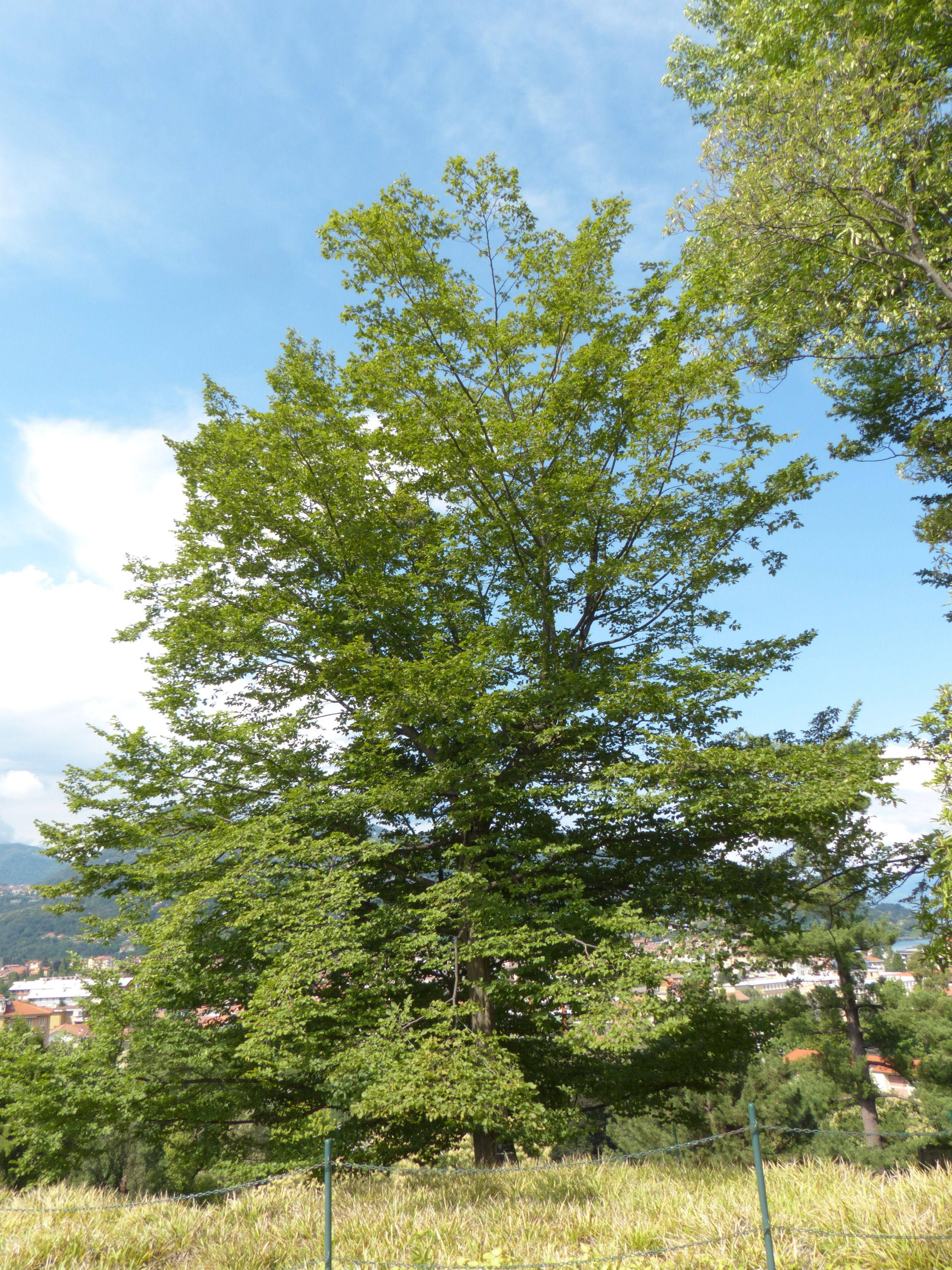 © Dipartimento di Scienze della Vita, Università di Trieste<br>by Andrea Moro<br>Comune di Verbania, Giardini Botanici di Villa Taranto, VB, Piemonte, Italia, 22/06/2019<br>Distributed under CC-BY-SA 4.0 license.