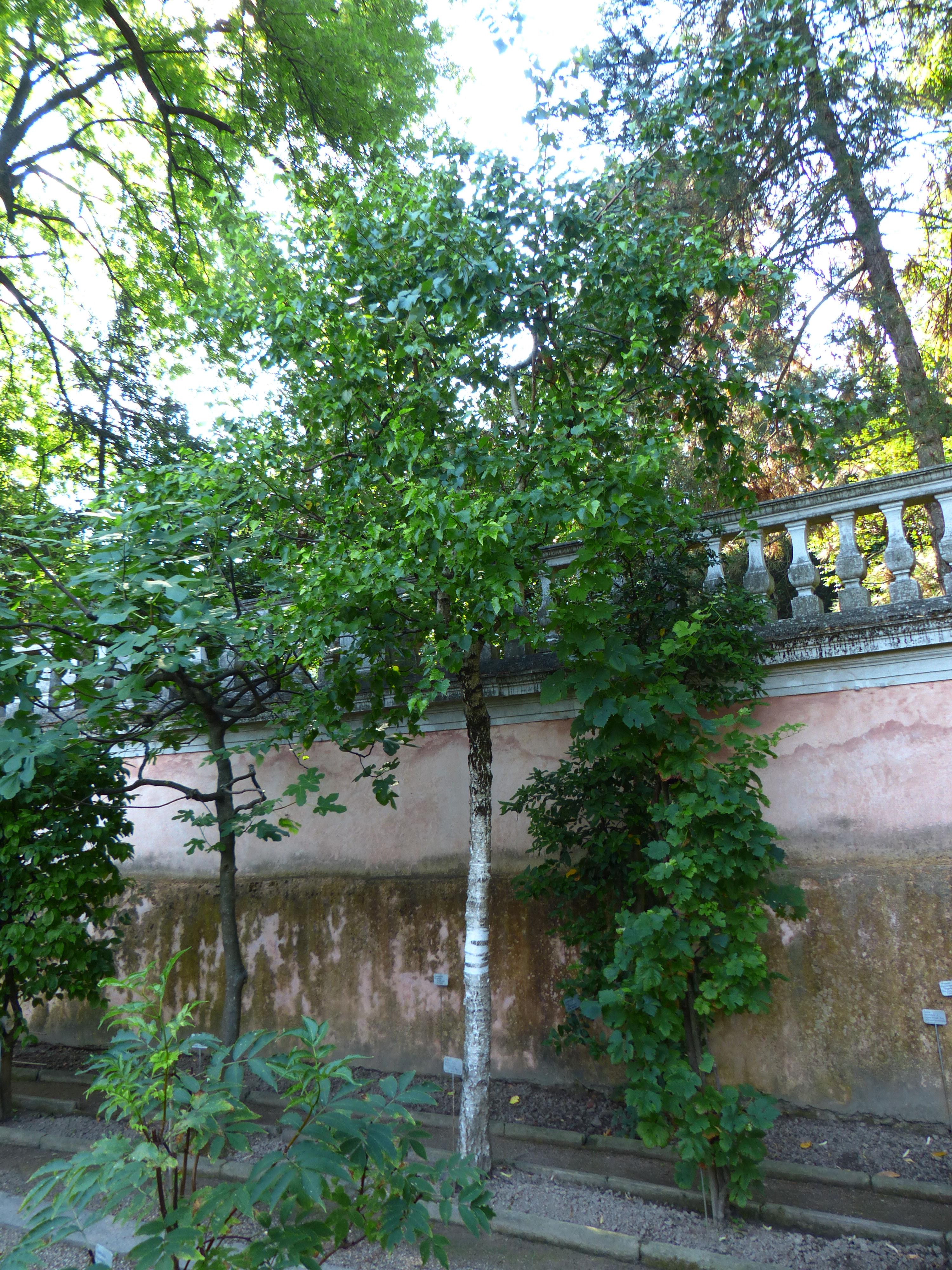 © Università di Trieste, Dipartimento di Scienze Della Vita<br>by Andrea Moro<br>Comune di Padova, Orto Botanico, PD, Veneto, Italia, 18/07/2019<br>Distributed under CC-BY-SA 4.0 license.