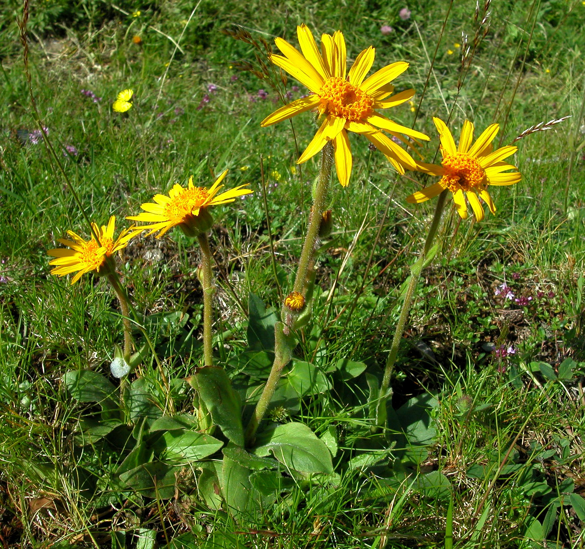 Arnica montana l subsp montana for Achat plante