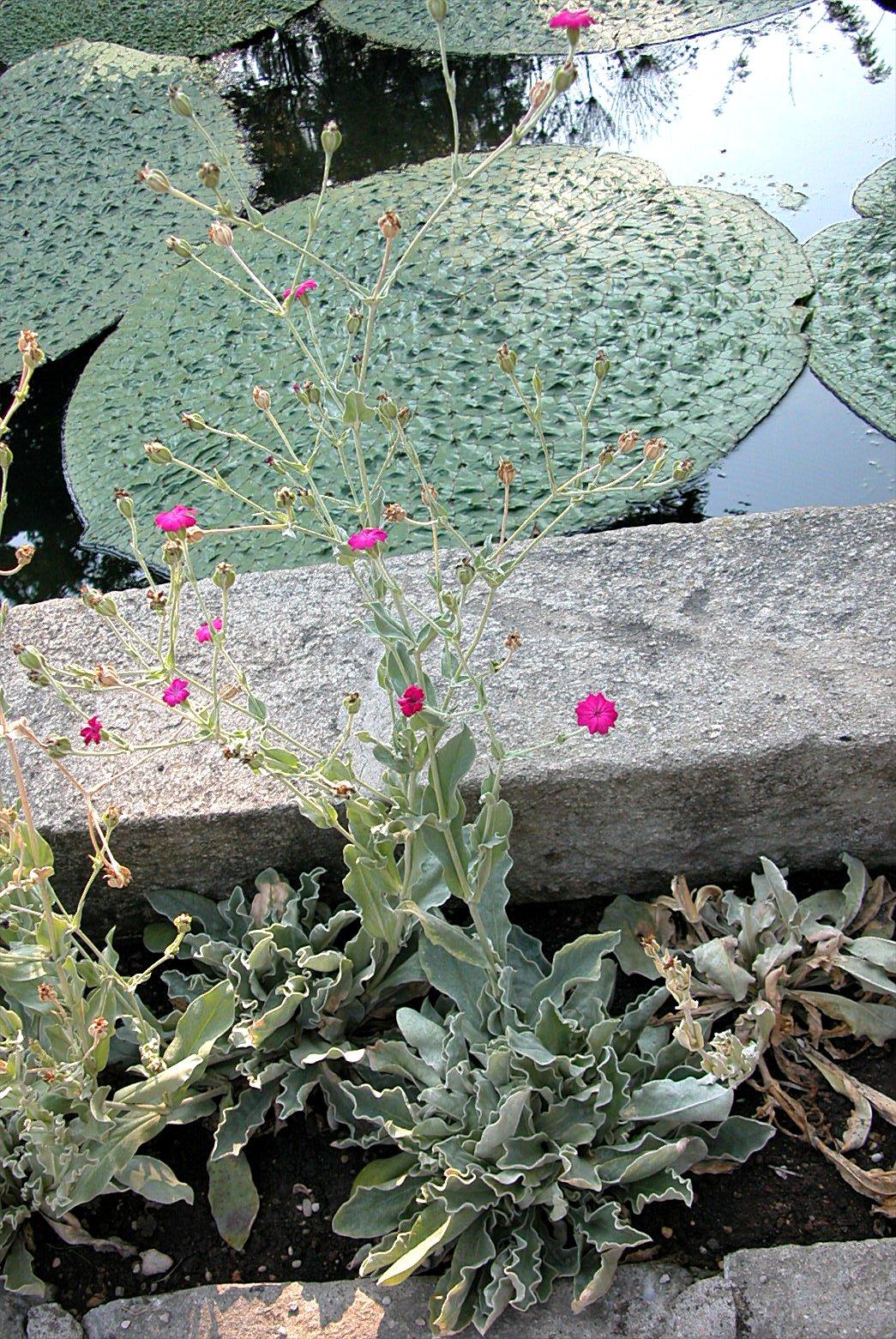 © Dipartimento di Scienze della Vita, Università degli Studi di Trieste<br>by Andrea Moro<br>Comune di Padova, Orto Botanico. , PD, Veneto, Italia, 31/7/04 0.00.00<br>Distributed under CC-BY-SA 4.0 license.