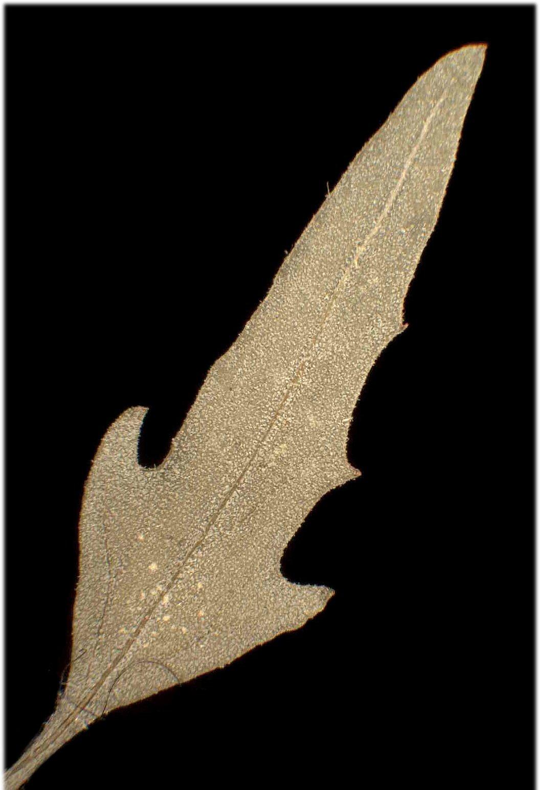 © Dipartimento di Scienze della Vita, Università degli Studi di Trieste<br>by Andrea Moro<br>Comune di Trieste, località Villa Carsia., TS, FVG, Italia, 23/11/04 0.00.00<br>Distributed under CC-BY-SA 4.0 license.