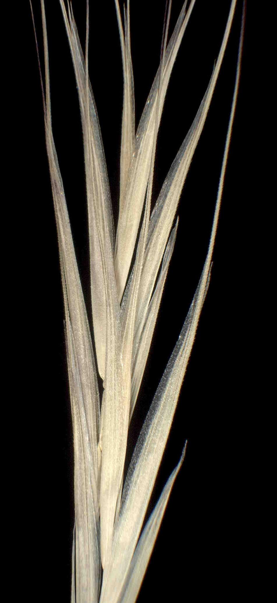 © Dipartimento di Scienze della Vita, Università degli Studi di Trieste<br>by Andrea Moro<br>Comune di Manfredogna, margine del centro abitato., FG, Puglia, Italia, 24/11/04 0.00.00<br>Distributed under CC-BY-SA 4.0 license.