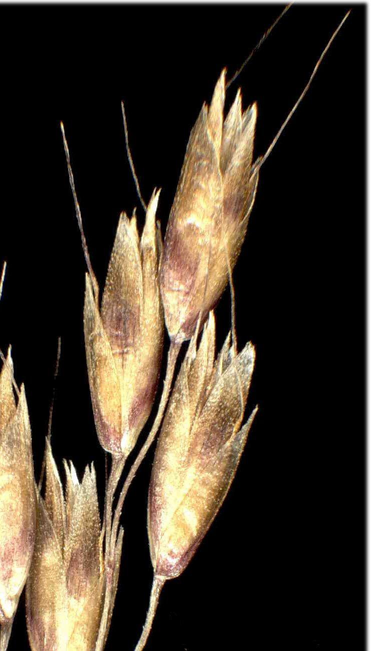 © Dipartimento di Scienze della Vita, Università degli Studi di Trieste<br>by Andrea Moro<br>Alpi Carniche, pendici del Monte Paularo, prato., UD, FVG, Italia, 22/12/04 0.00.00<br>Distributed under CC-BY-SA 4.0 license.