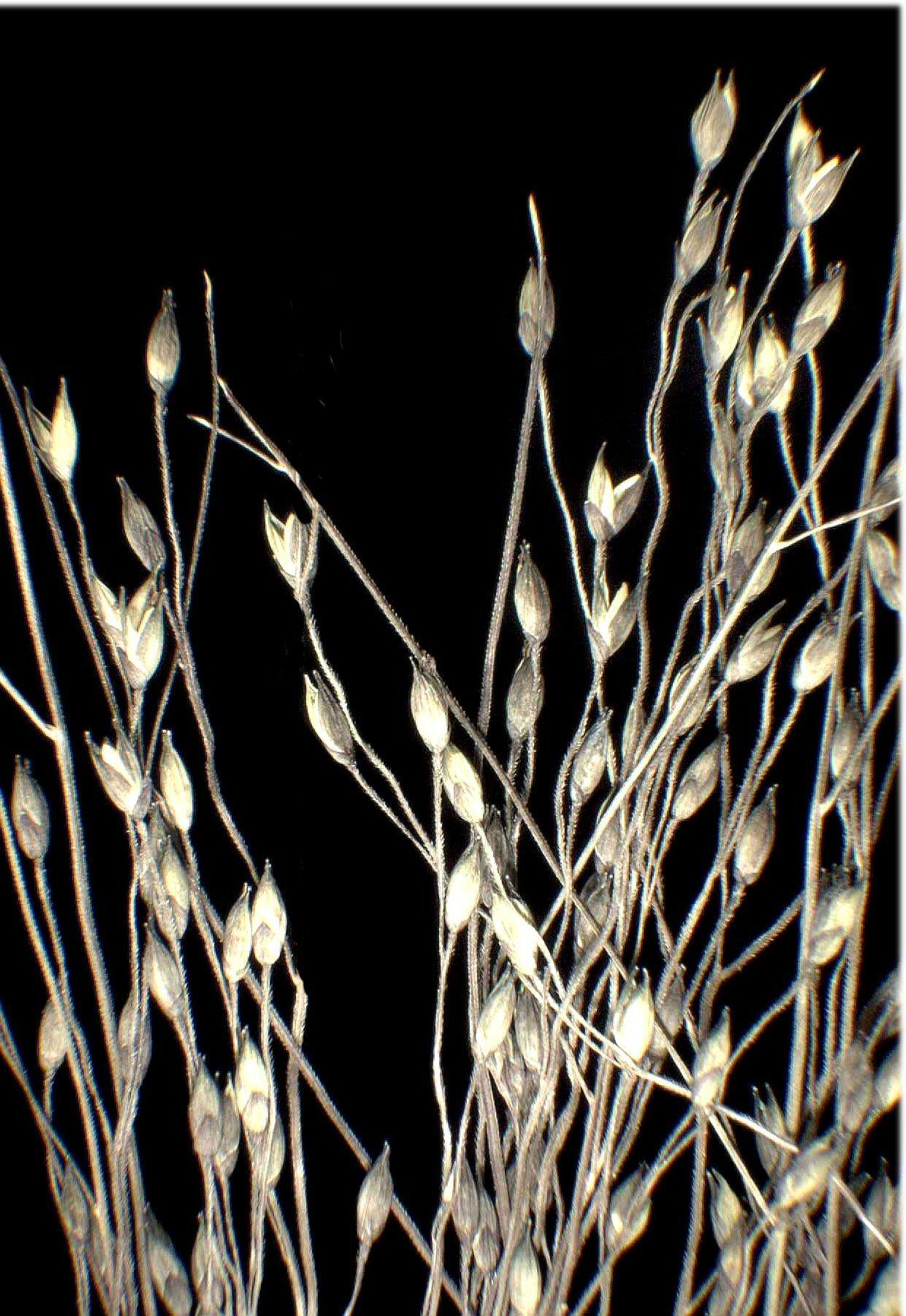© Dipartimento di Scienze della Vita, Università degli Studi di Trieste<br>by Andrea Moro<br>Comune di Pozzuolo, prato nei pressi dell'abitato. , UD, FVG, Italia, 22/12/04 0.00.00<br>Distributed under CC-BY-SA 4.0 license.