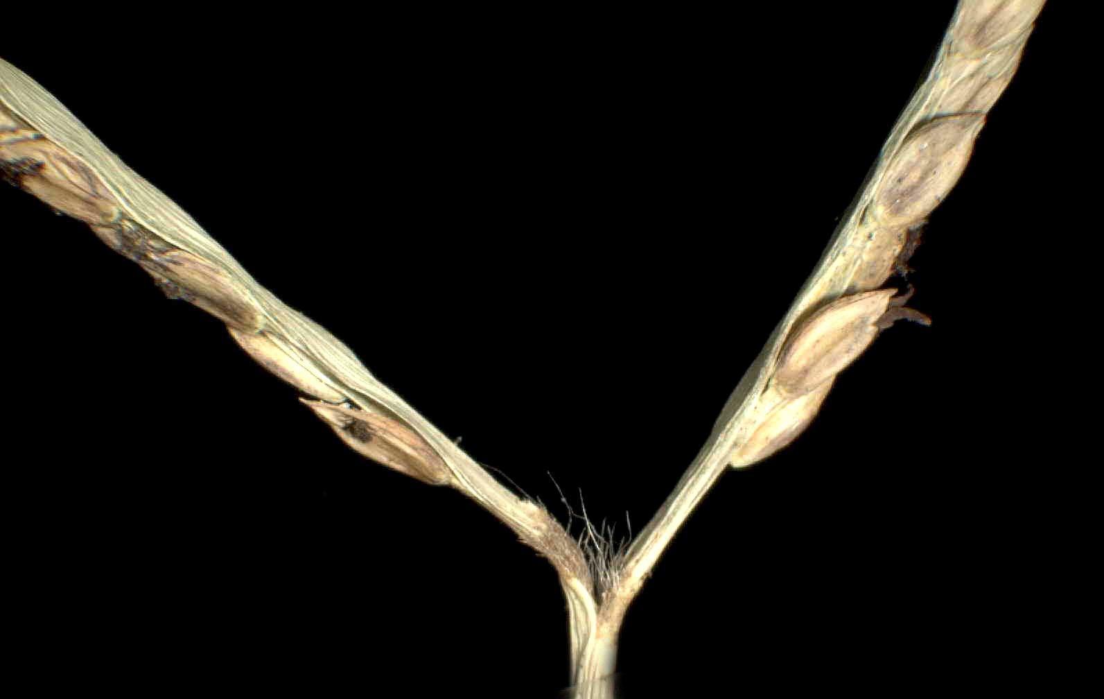 © Dipartimento di Scienze della Vita, Università degli Studi di Trieste<br>by Andrea Moro<br>Comune di Codigoro, di fronte all'Abbazia di Pomposa, ai margini di un fosso. , FE, Emilia-Romagna , Italia, 23/12/04 0.00.00<br>Distributed under CC-BY-SA 4.0 license.