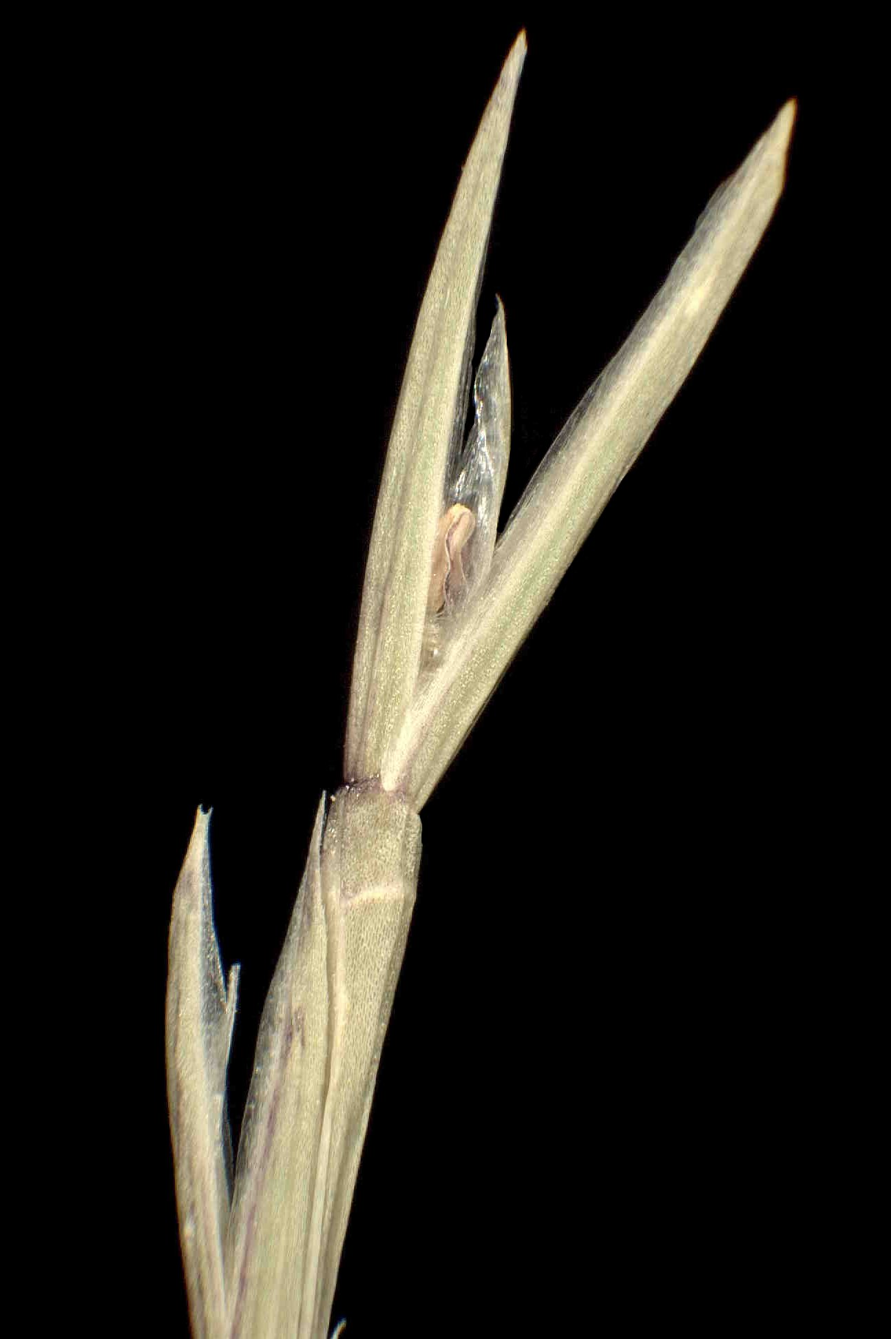 © Dipartimento di Scienze della Vita, Università degli Studi di Trieste<br>by Andrea Moro<br>Sax, Salinas, provincia di Alicante, prateria alofila. , Spagna, 15/1/05 0.00.00<br>Distributed under CC-BY-SA 4.0 license.