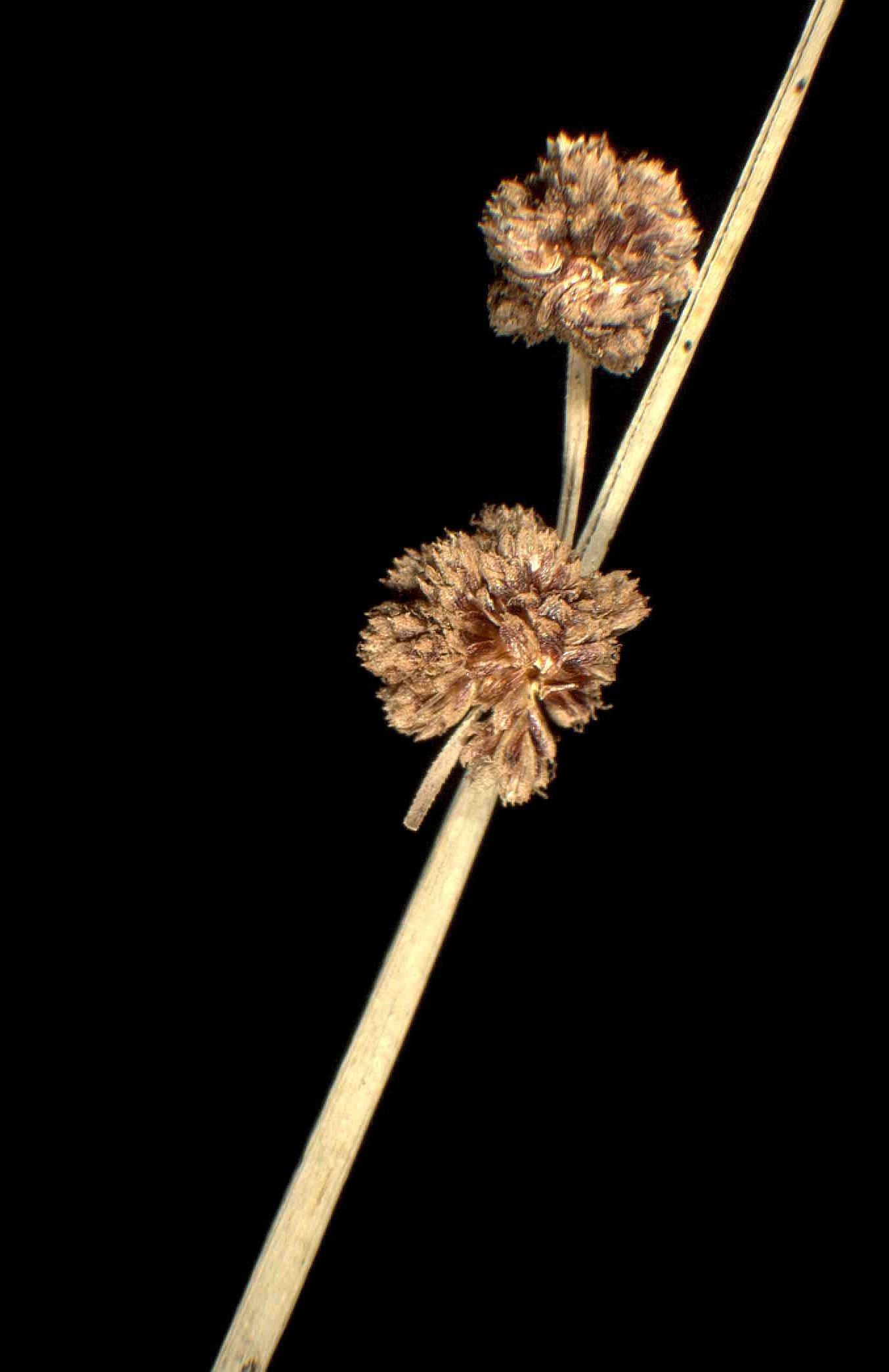 © Dipartimento di Scienze della Vita, Università degli Studi di Trieste<br>by Andrea Moro<br>Dipartimento dell'Herault, località Castelnau le Lez, sulla ghiaia presso il letto del fiume Lez., Francia, 17/1/05 0.00.00<br>Distributed under CC-BY-SA 4.0 license.