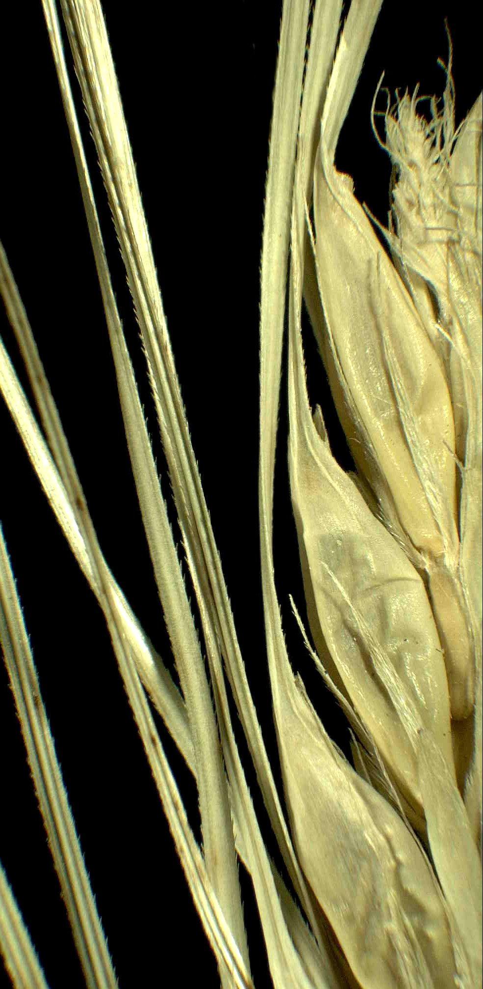 © Dipartimento di Scienze della Vita, Università degli Studi di Trieste<br>by Andrea Moro<br>Comune di Follonica, campi coltivati presso l'abitato. , GR, Toscana, Italia, 28/1/05 0.00.00<br>Distributed under CC-BY-SA 4.0 license.