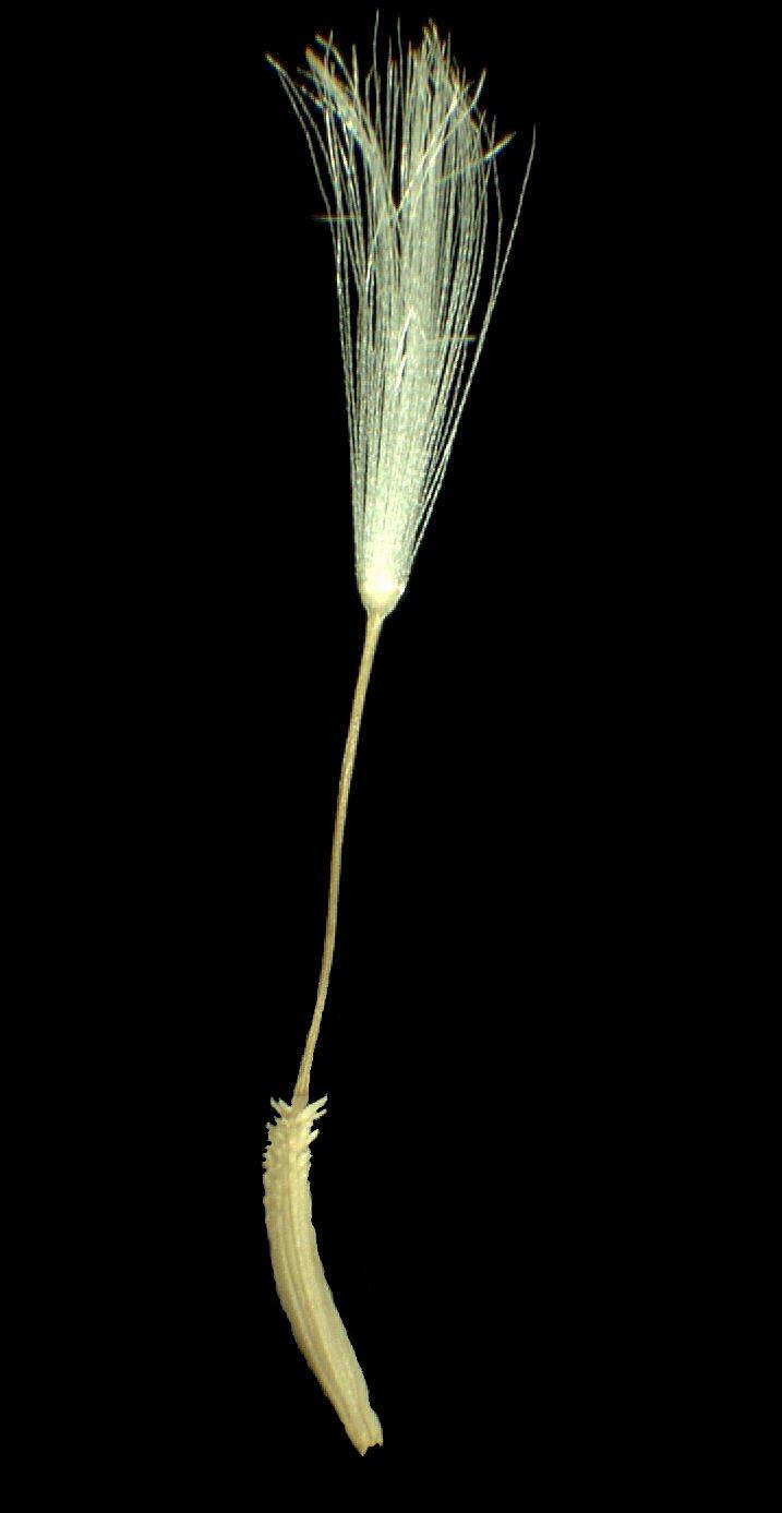 © Dipartimento di Scienze della Vita, Università degli Studi di Trieste<br>by Andrea Moro<br>Dipartimento Vaucluse, Oppède Le Vieux, via della fontana., Francia, 28/3/05 0.00.00<br>Distributed under CC-BY-SA 4.0 license.