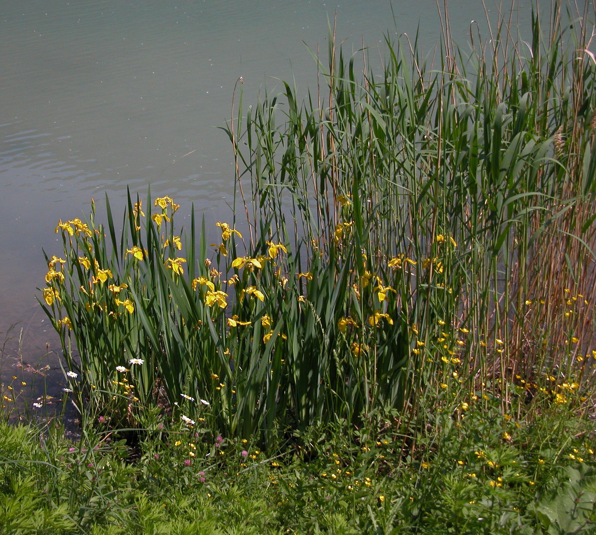 © Dipartimento di Scienze della Vita, Università degli Studi di Trieste<br>by Andrea Moro<br>Comune di Trasaghis, località Alesso, rive del Lago di Cavazzo., UD, FVG, Italia, 21/5/05 0.00.00<br>Distributed under CC-BY-SA 4.0 license.