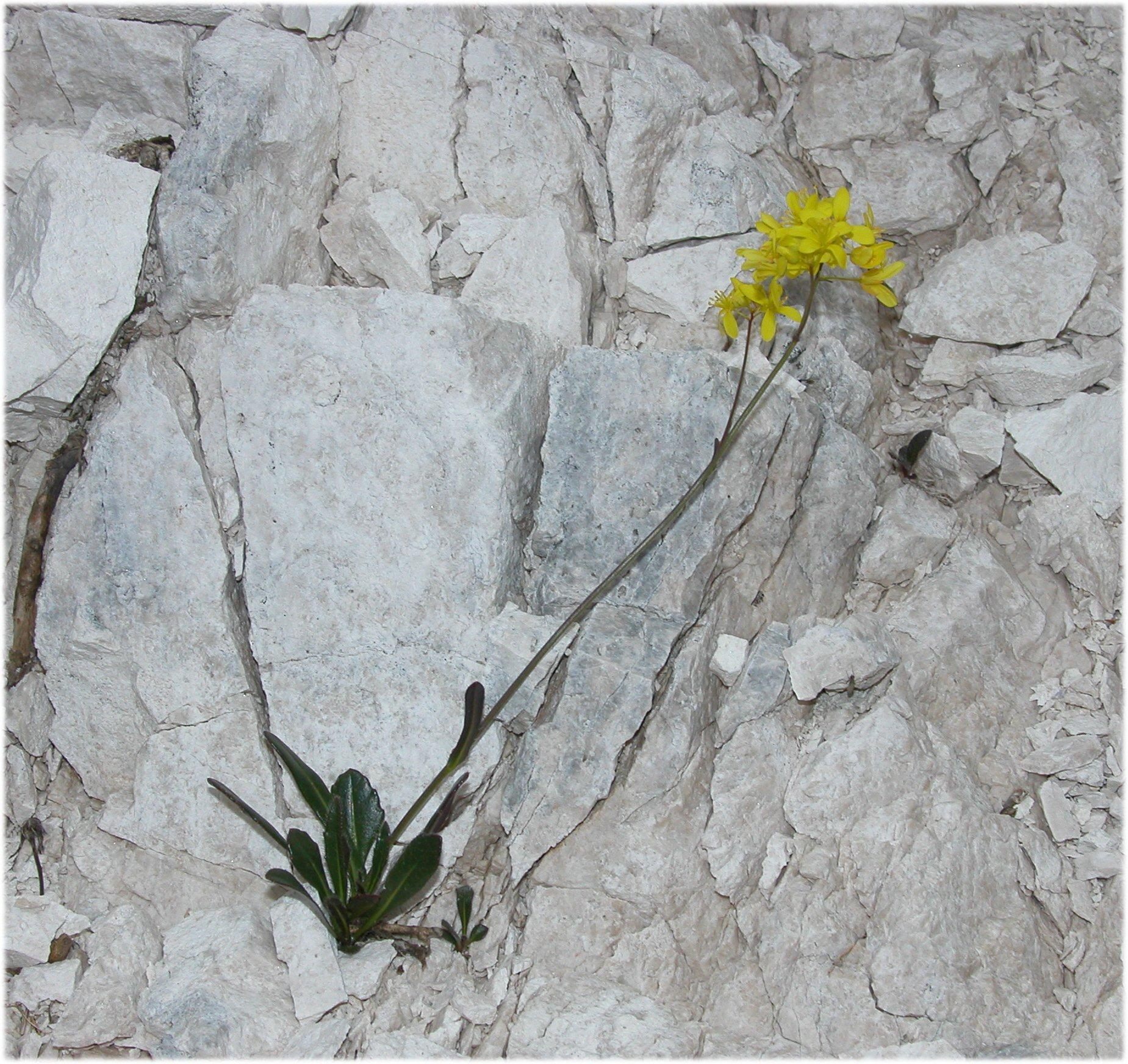© Dipartimento di Scienze della Vita, Università degli Studi di Trieste<br>by Andrea Moro<br>Comune di Chiusaforte, località Sella Nevea, Monte Canin., UD, FVG, Italia, 19/07/05 <br>Distributed under CC-BY-SA 4.0 license.