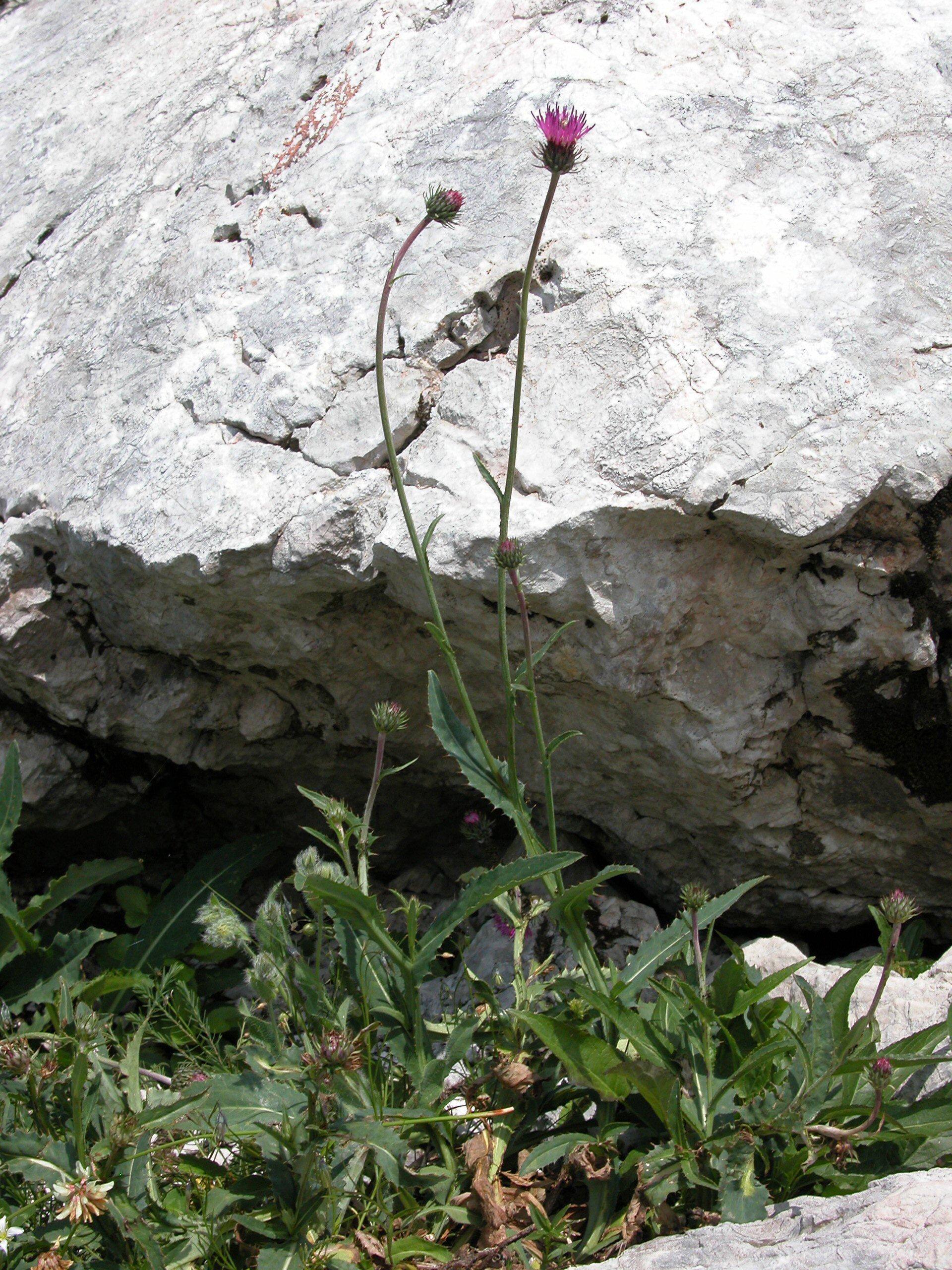 © Dipartimento di Scienze della Vita, Università degli Studi di Trieste<br>by Andrea Moro<br>Comune di Chiusaforte, località Sella Nevea, nei pressi della stazione di arrivo della funivia., UD, FVG, Italia, 19/07/05 <br>Distributed under CC-BY-SA 4.0 license.